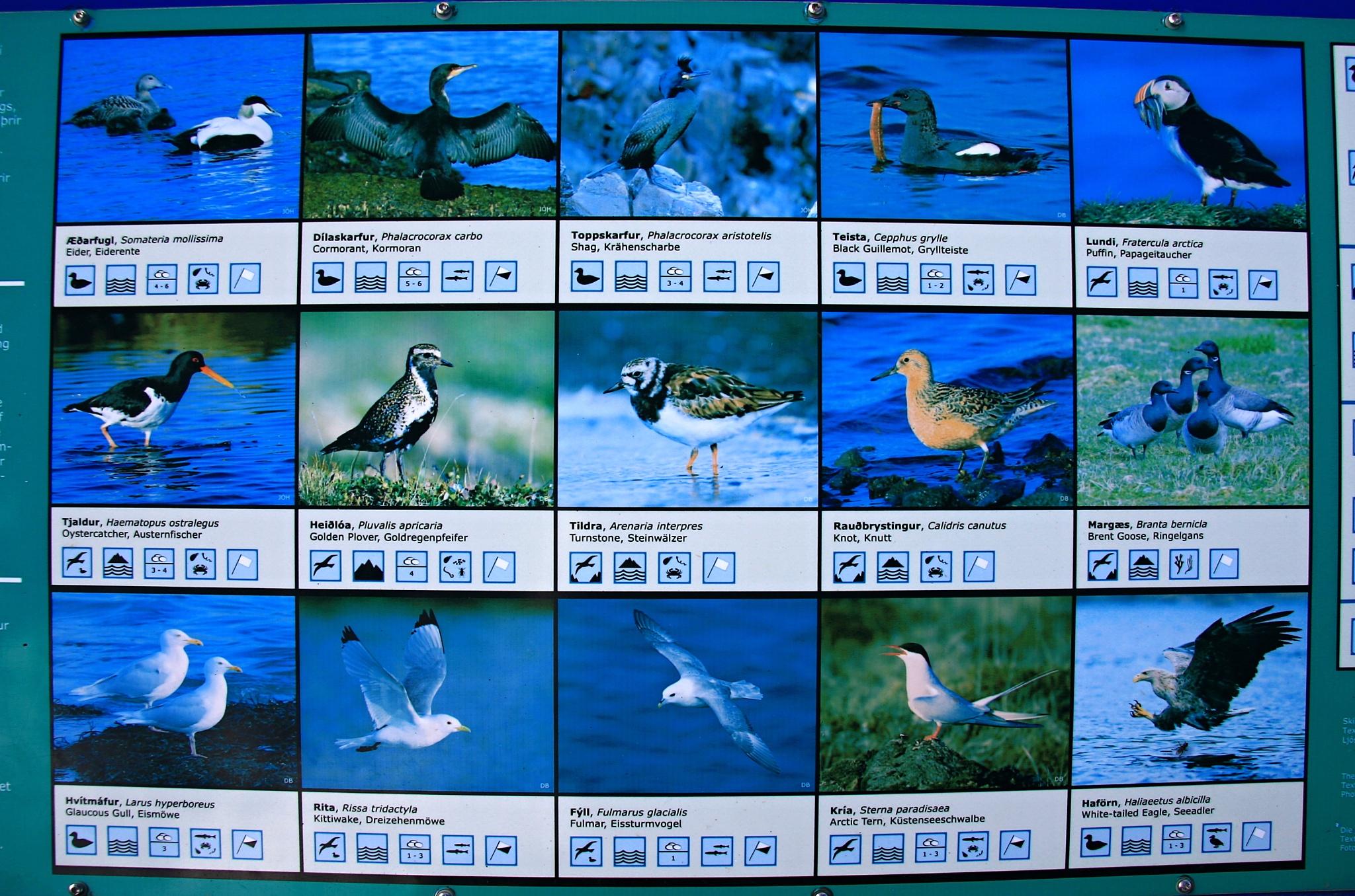 Další ptactvo na Islandu.