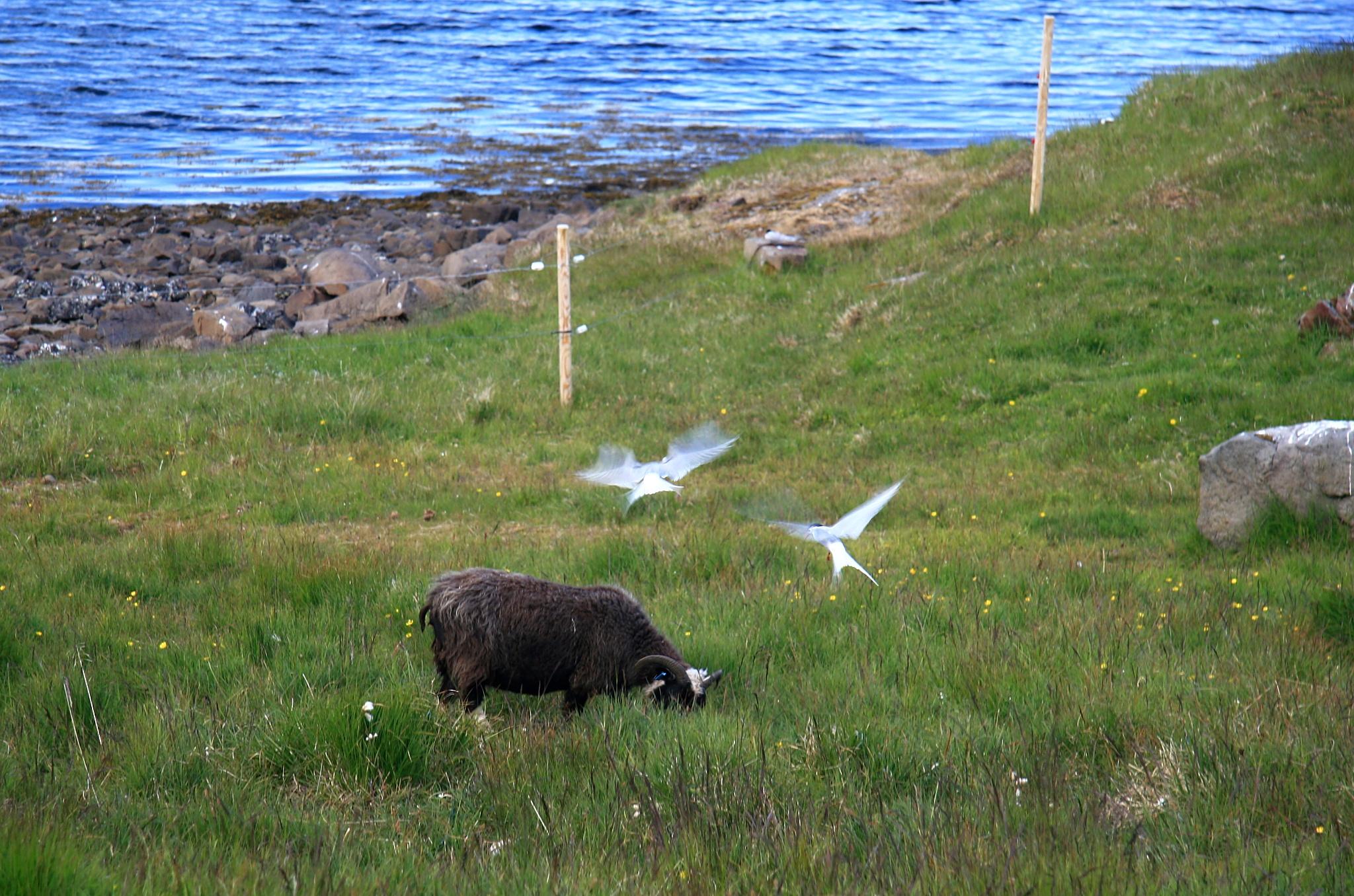 Agresivní Rybák Arktický chránící si své hnízdiště.