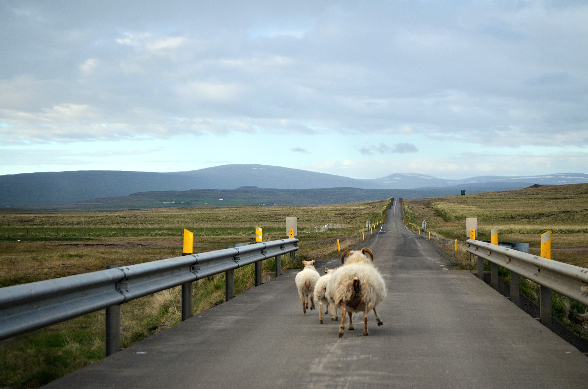 Pozor, ovce na silnici!