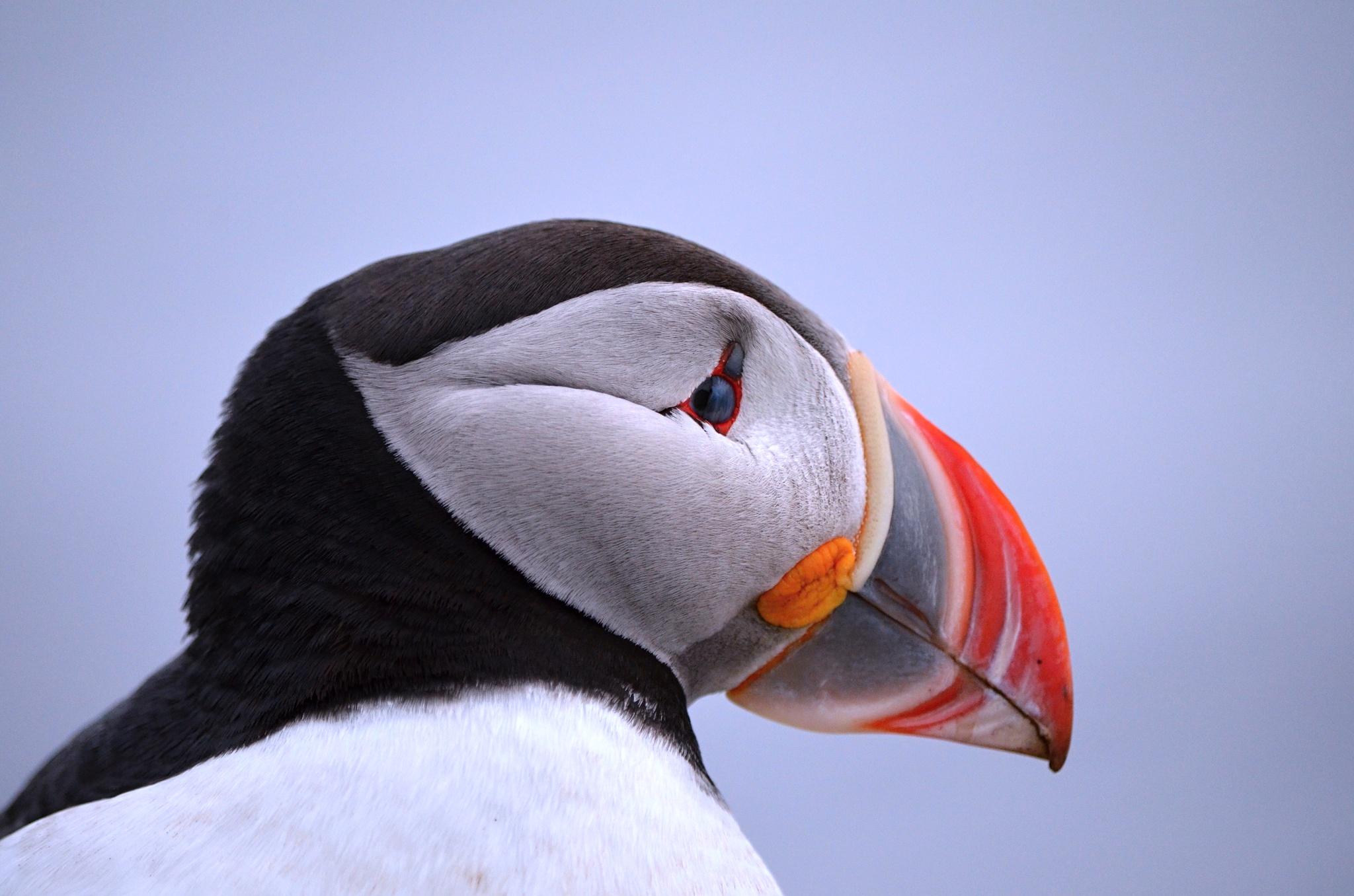Detail na krásně zbarvený zobák Papuchalka.