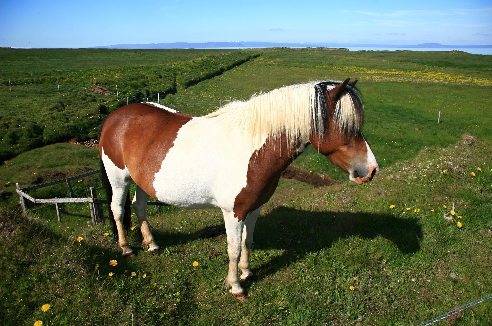 Islandský koníček