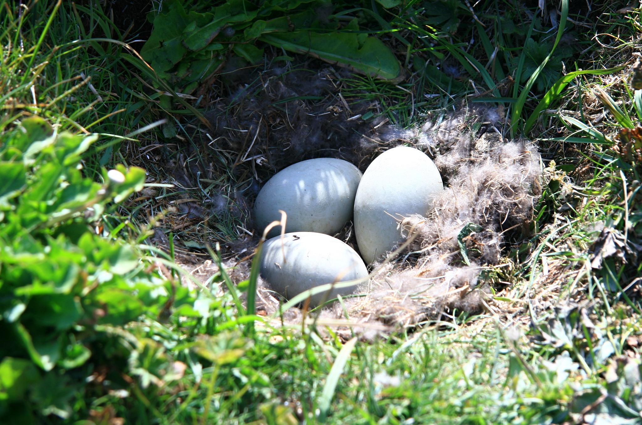 Hnízdo se třemi vajíčky