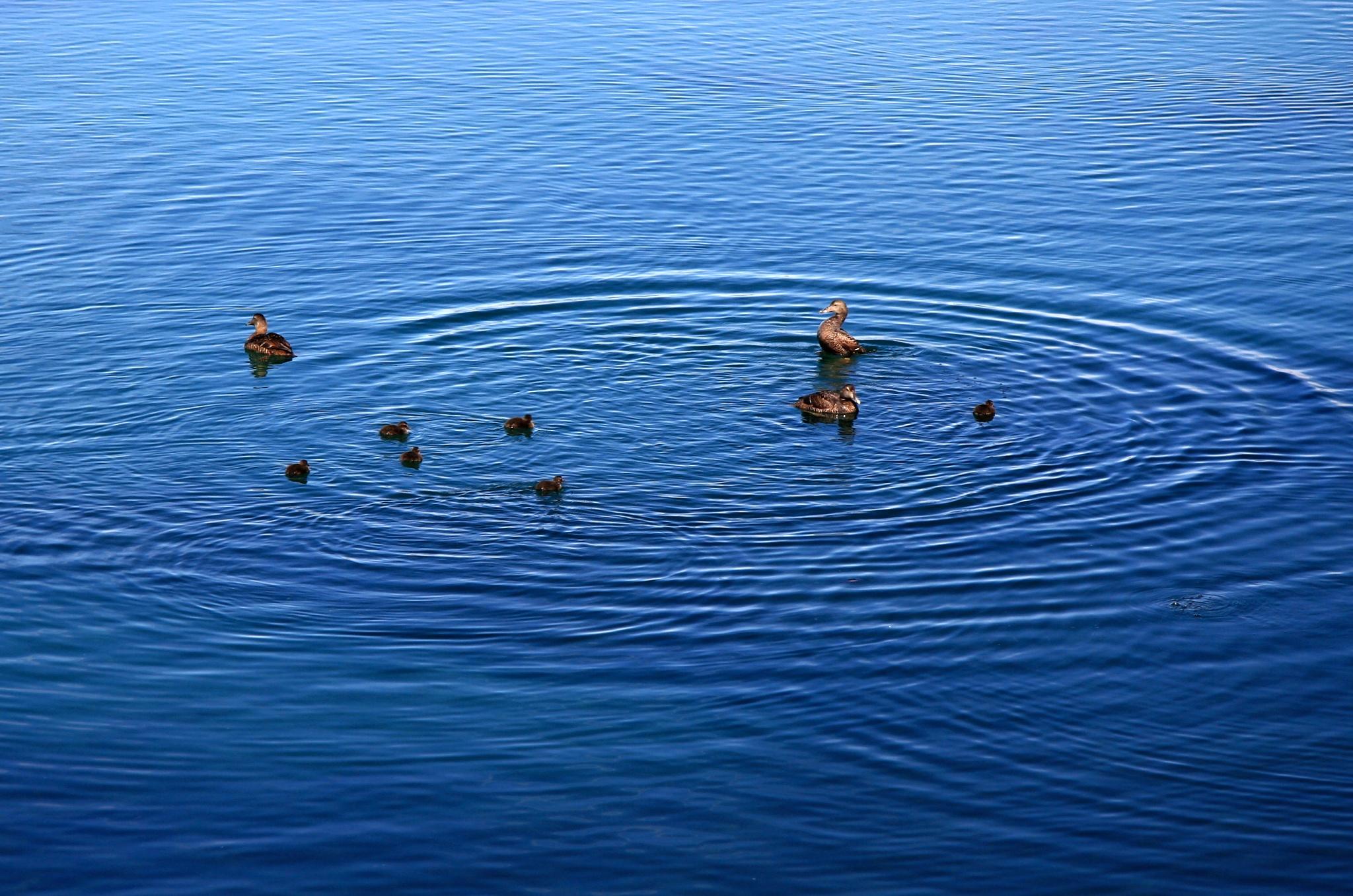 Kachní rodinka dovádí na moři