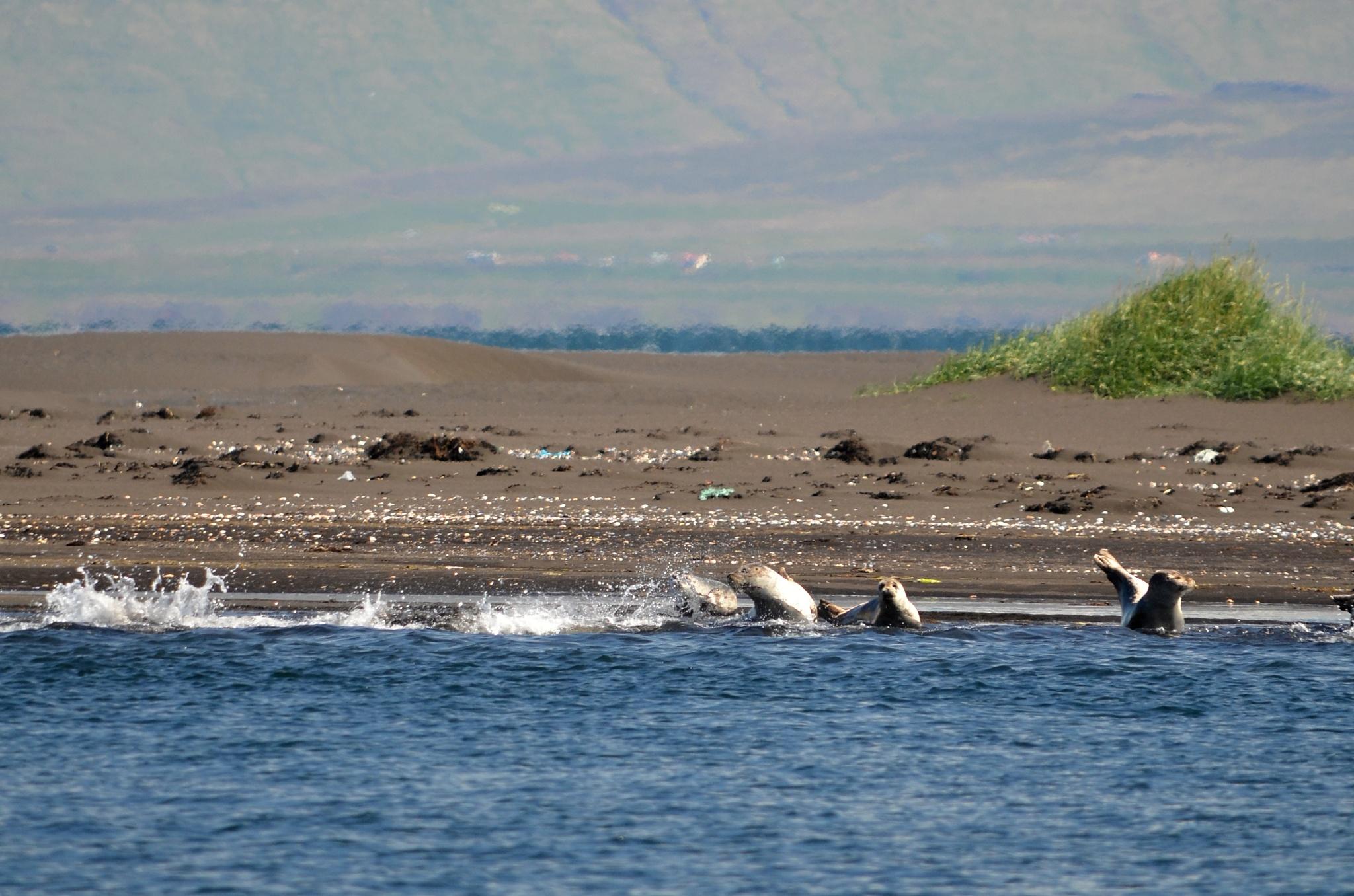 Slunící se a hrající si tuleni