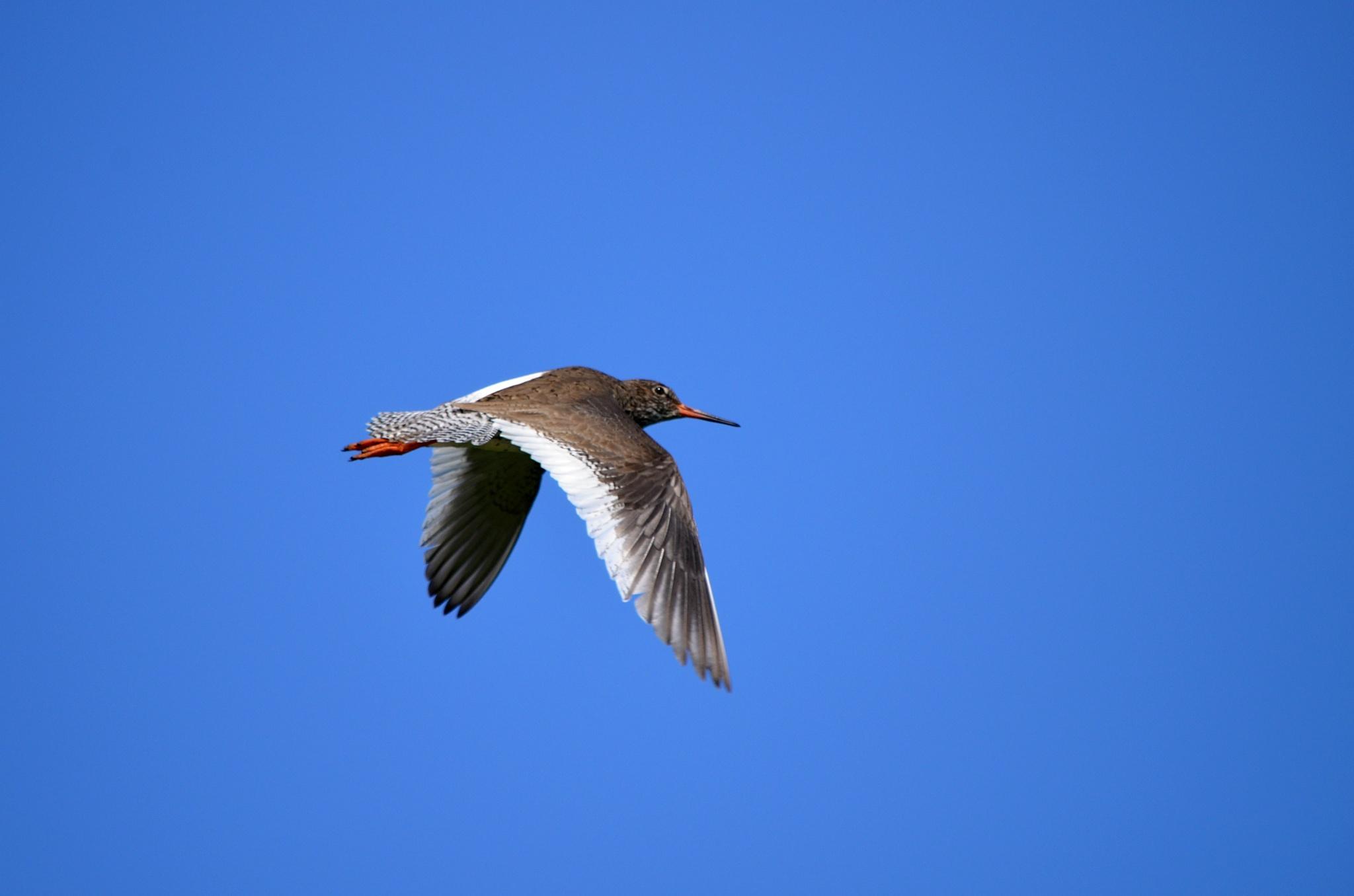 Vodouš rudonohý v letu