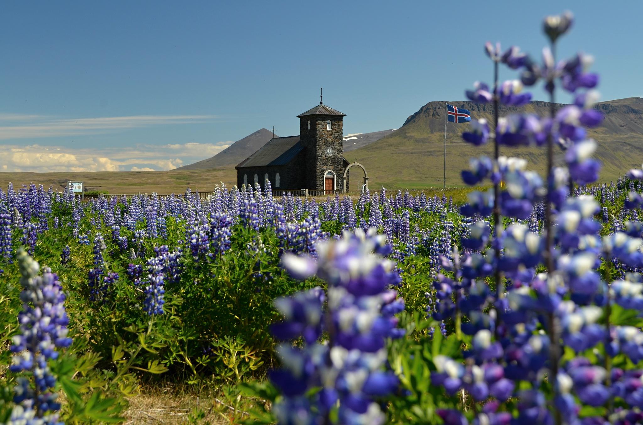 Černý kostelík Þingeyrakirkja v záplavě vlčího bobu (lupiny)