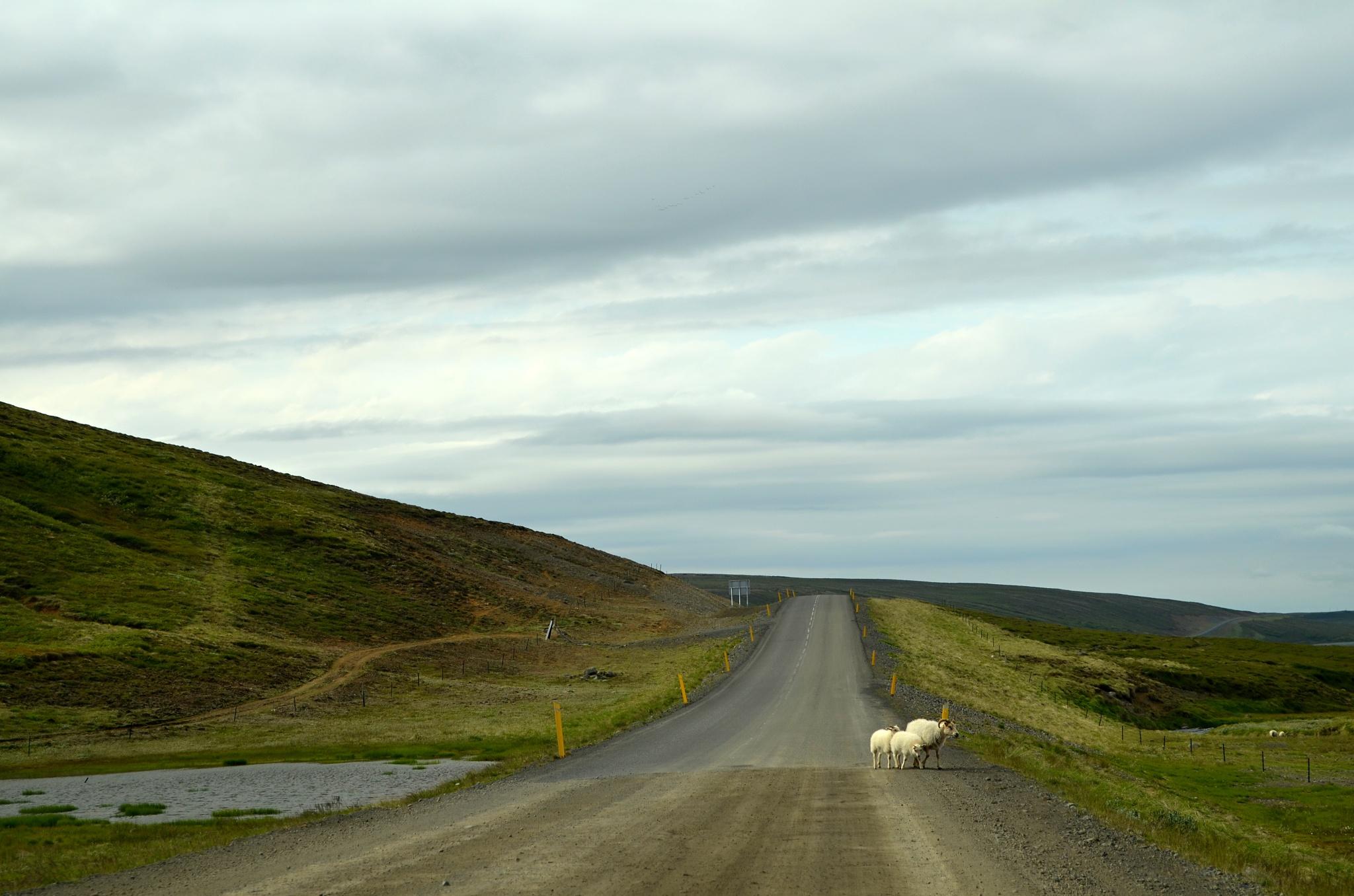 Tradiční islandské zátiší s ovcemi