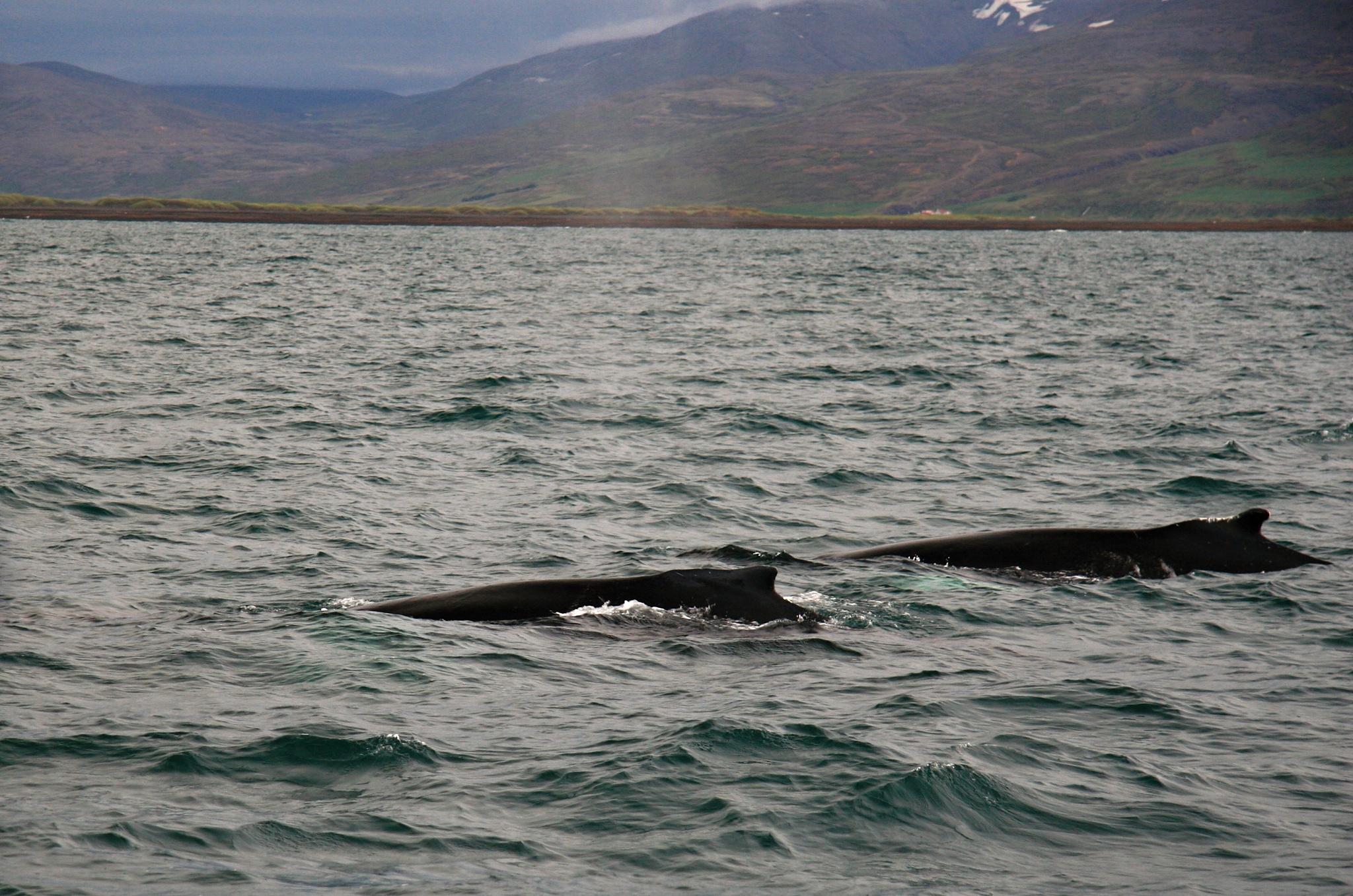 Dvě velryby za sebou