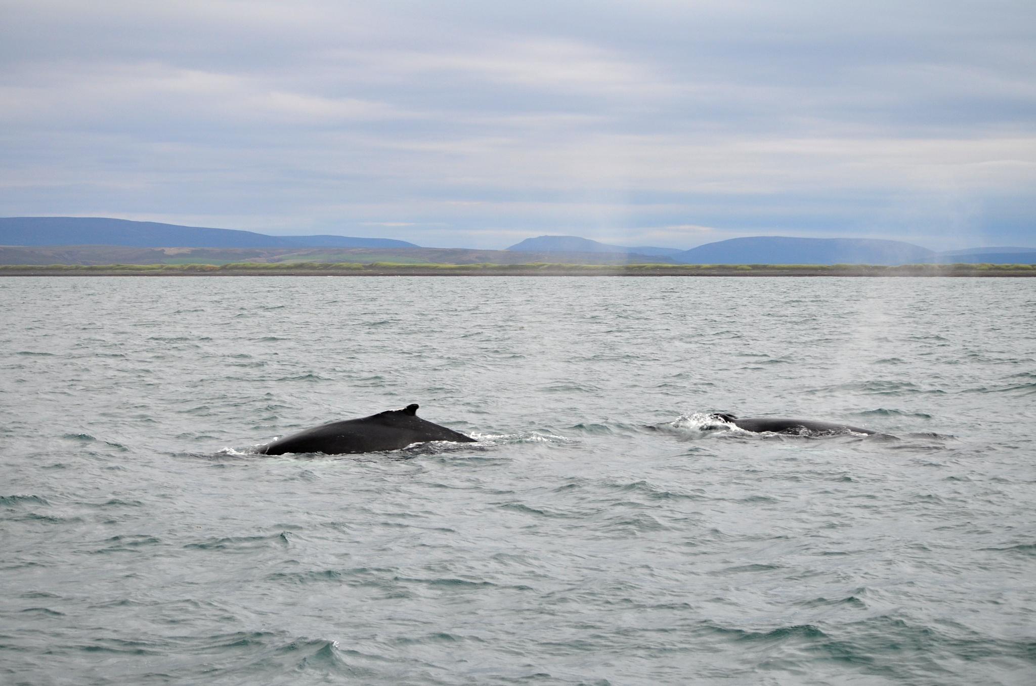 Dvojice vyfukujících velryb, asi Keporkaků