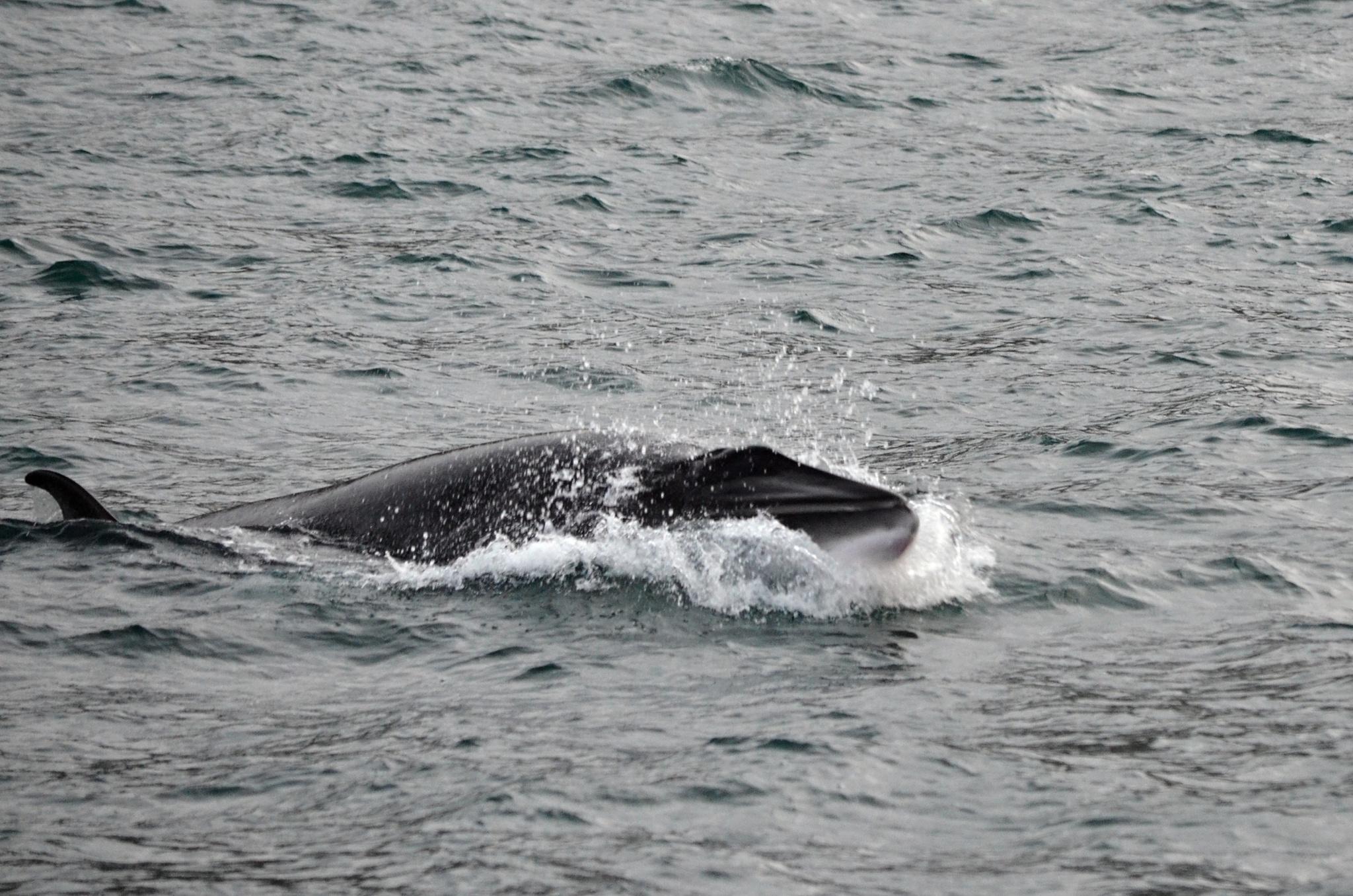 Snad jediný případ, kdy se nám velryba ukázala i s hlavou.