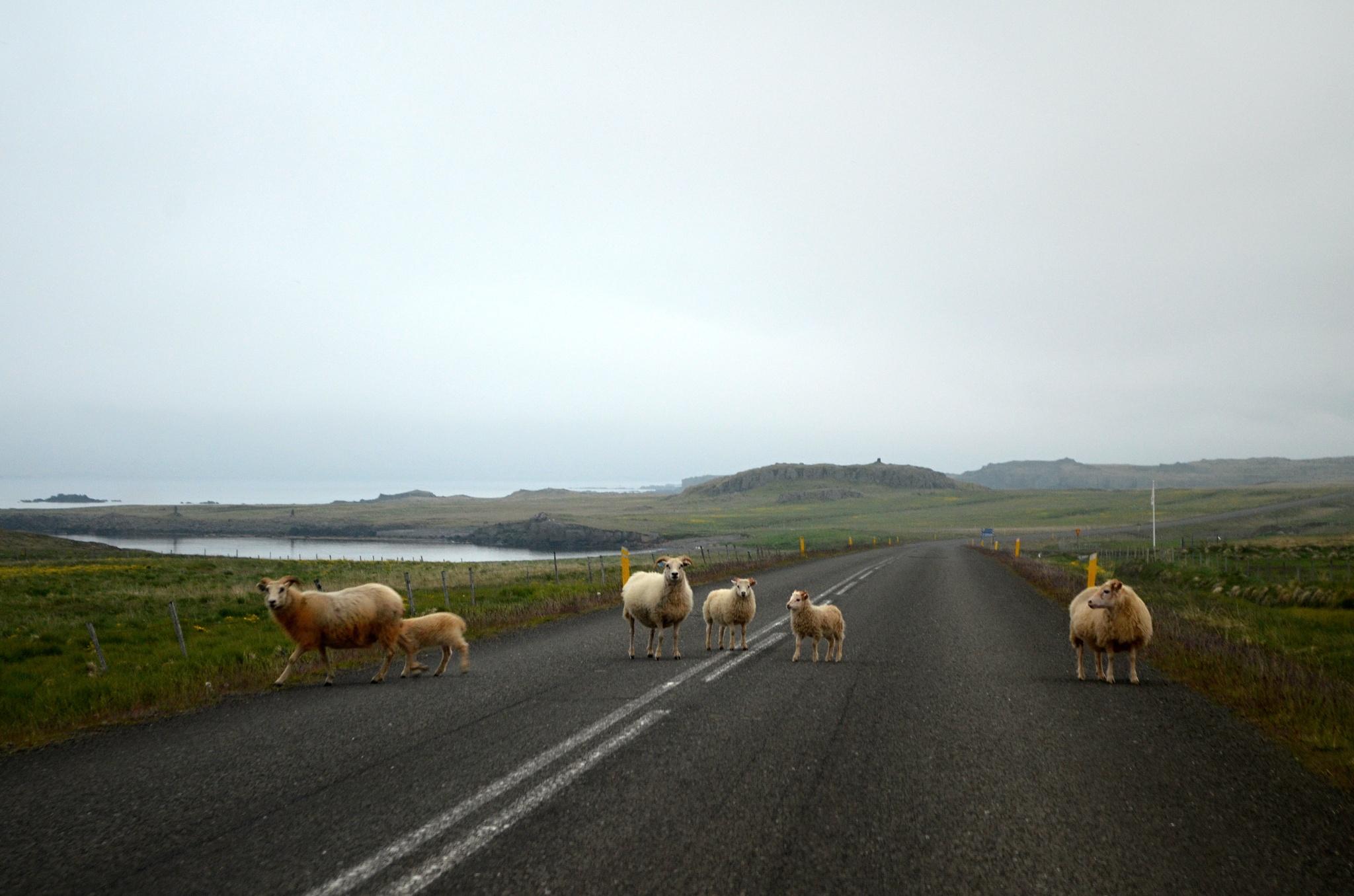 Ovčí stádo na silnici