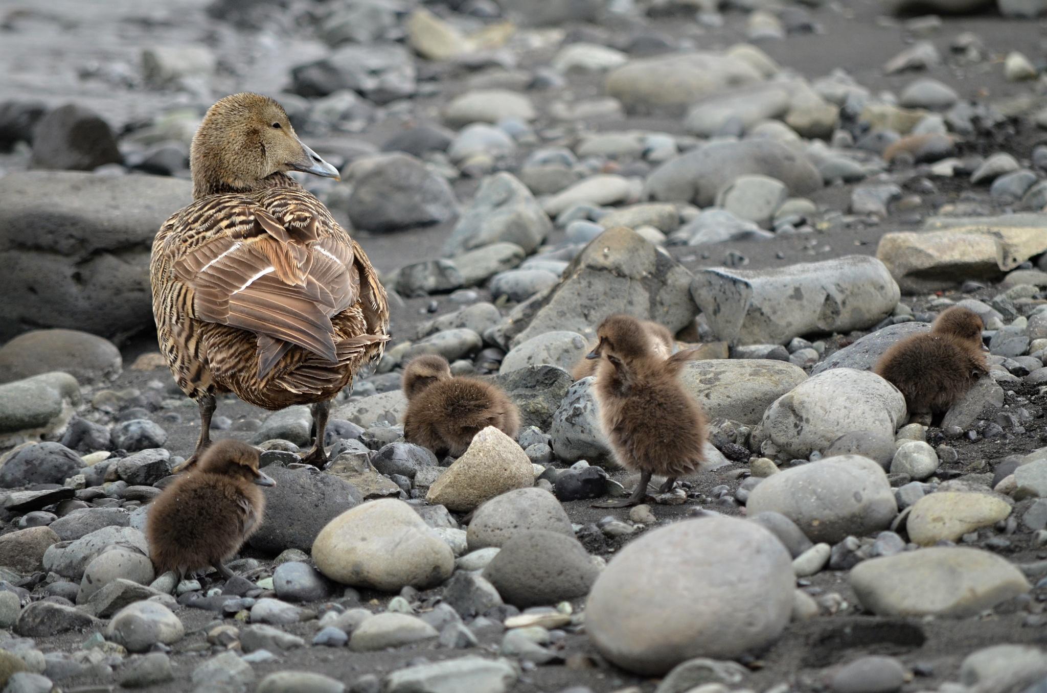 Divoká kachna s potomky
