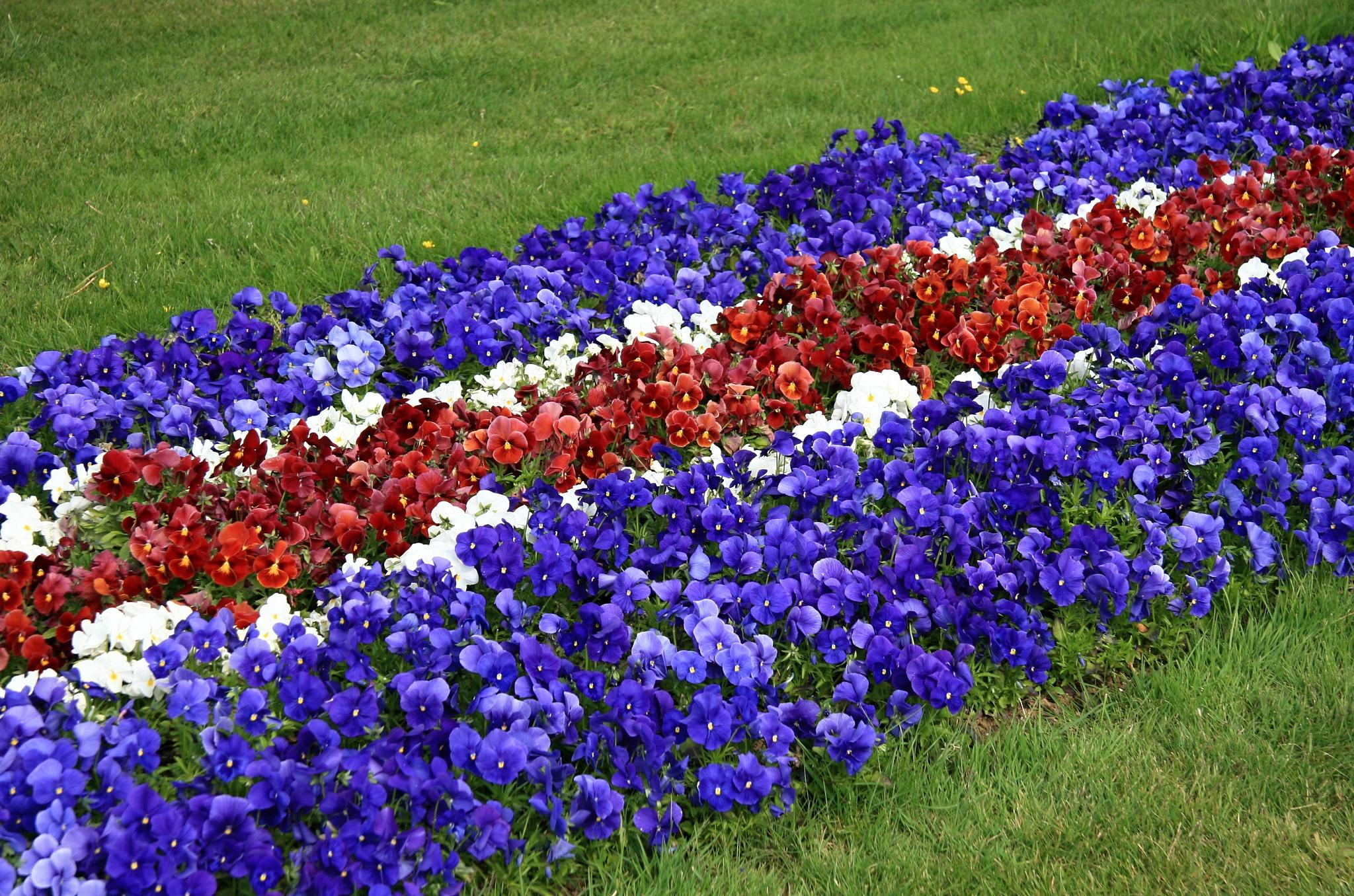 Fialky v barvách islandské vlajky