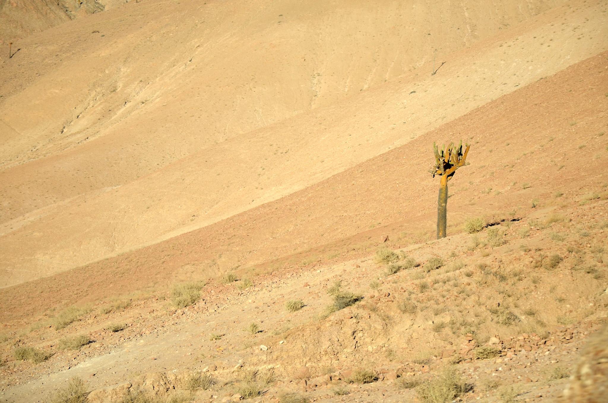 Kaktusy, jedny z mála rostlin v poušti