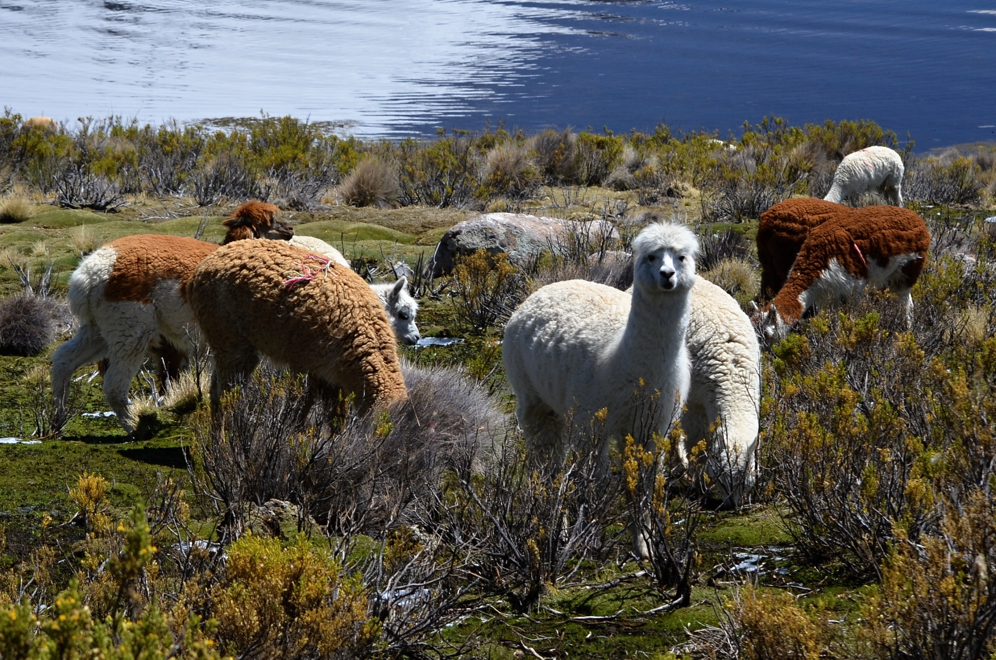 Skupina lam u jezera Chungará