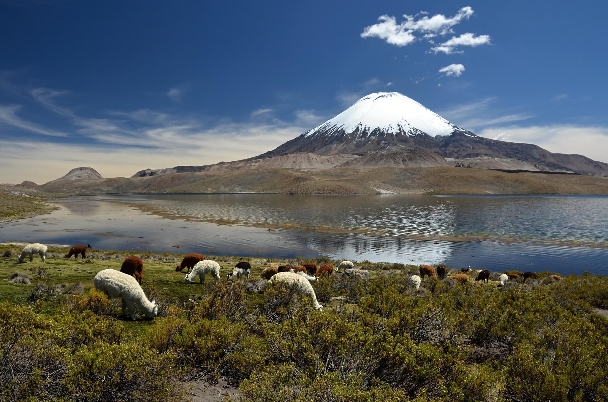 Stádo lam u sopky Parinacota