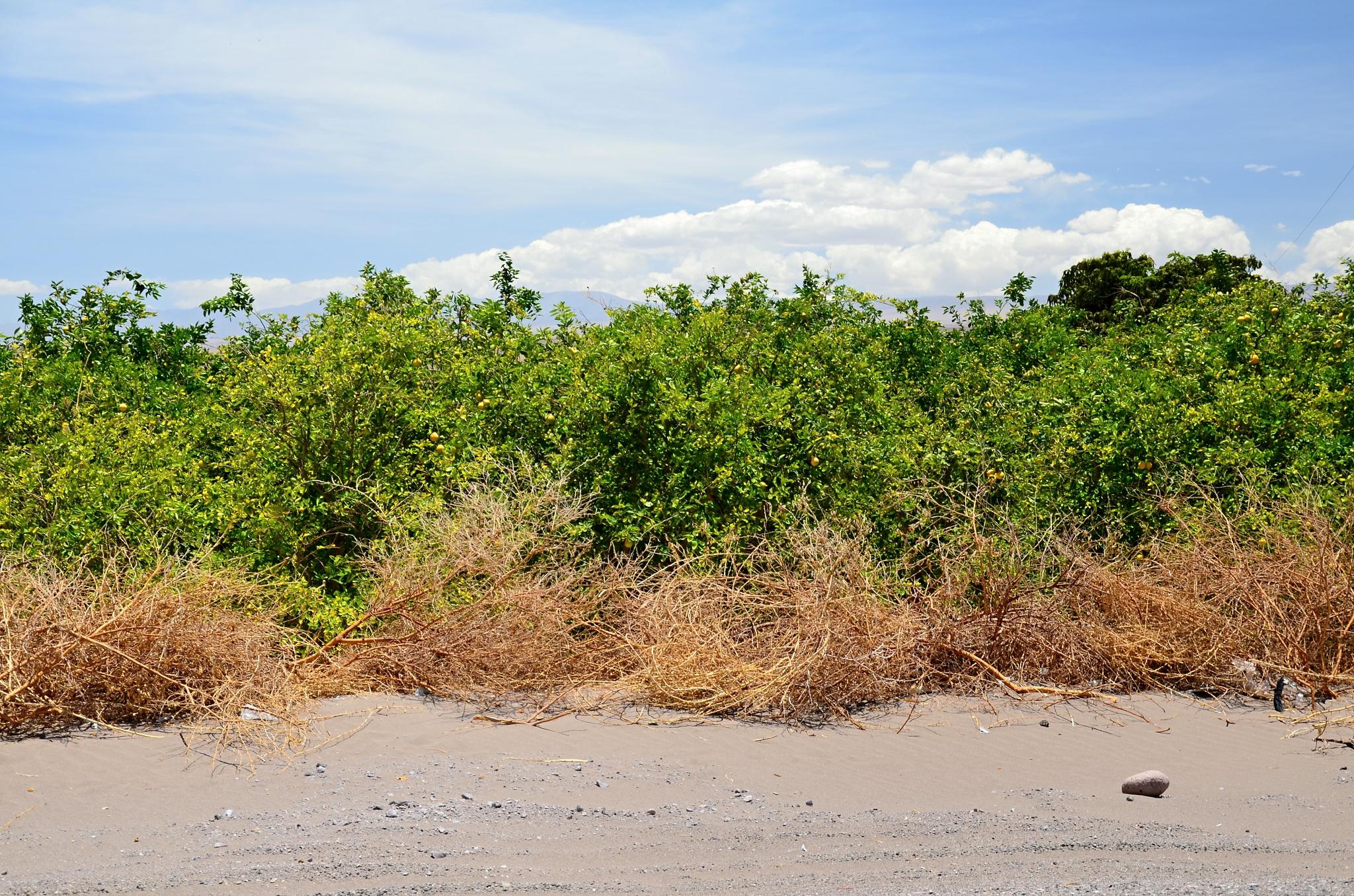 Ovocný sad v Pice