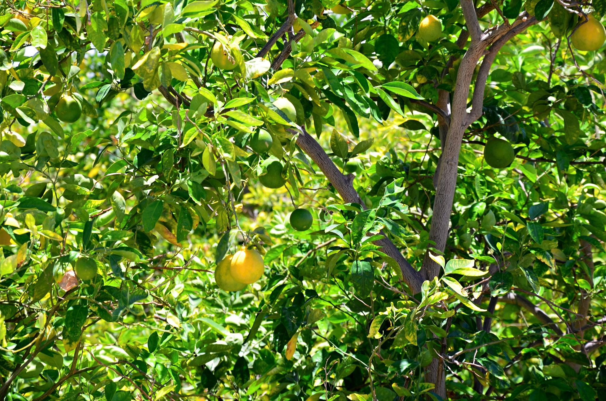 Úrod citronů