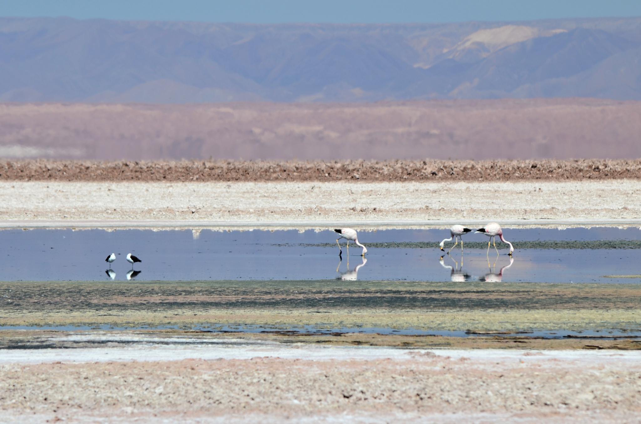 Plameňáci v jezeru Chaxa