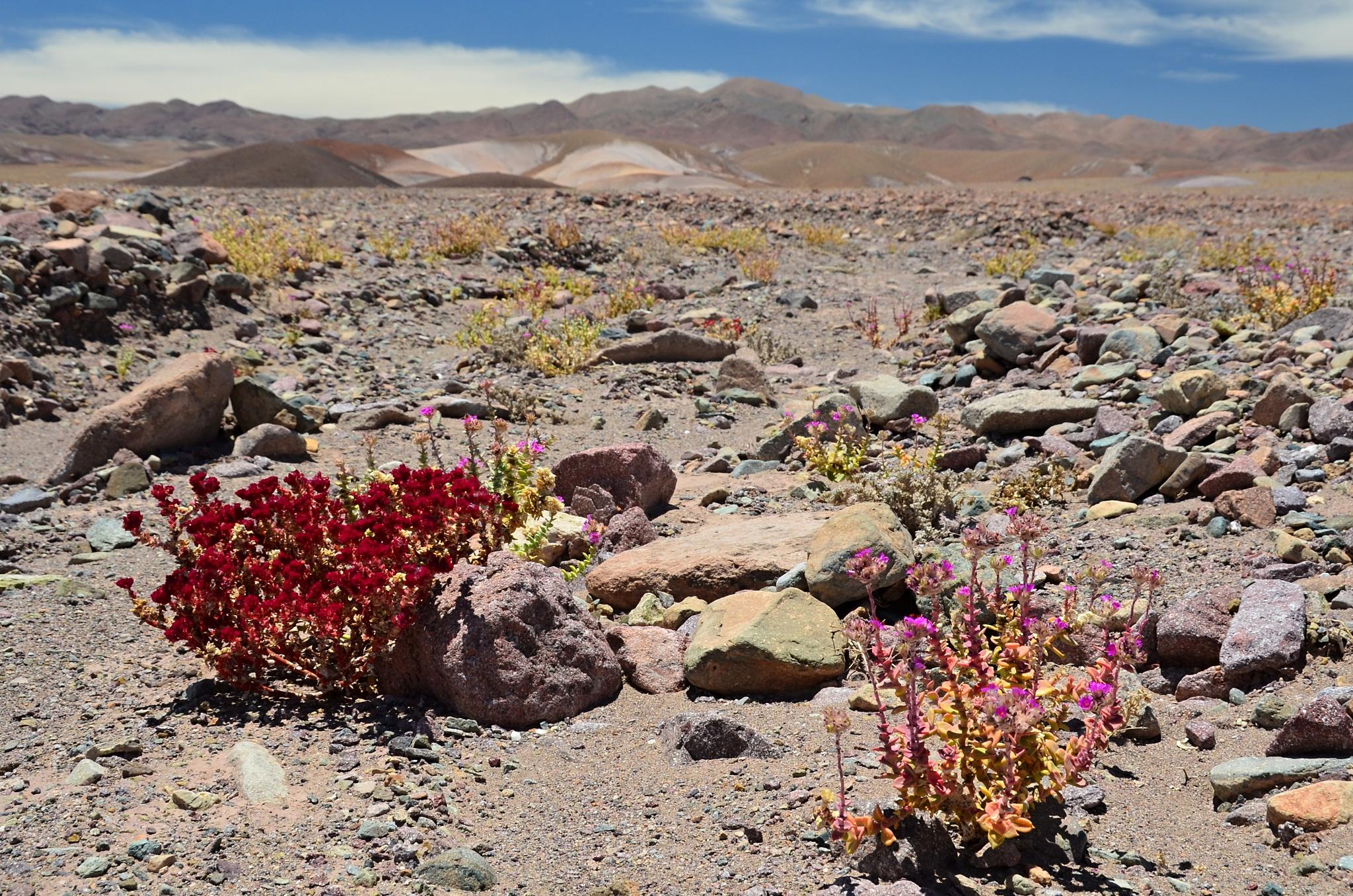 Rozkvetlá Atacama