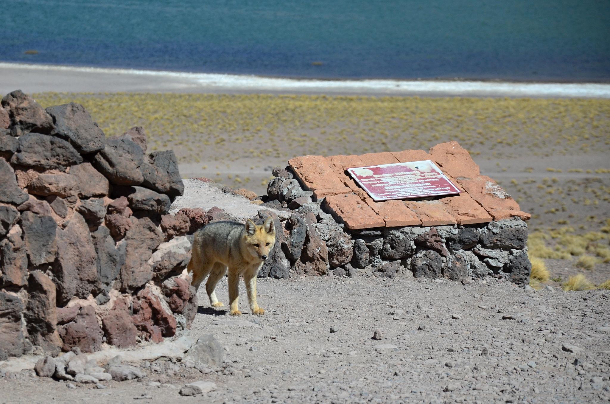 Zvědavá Patagonská liška