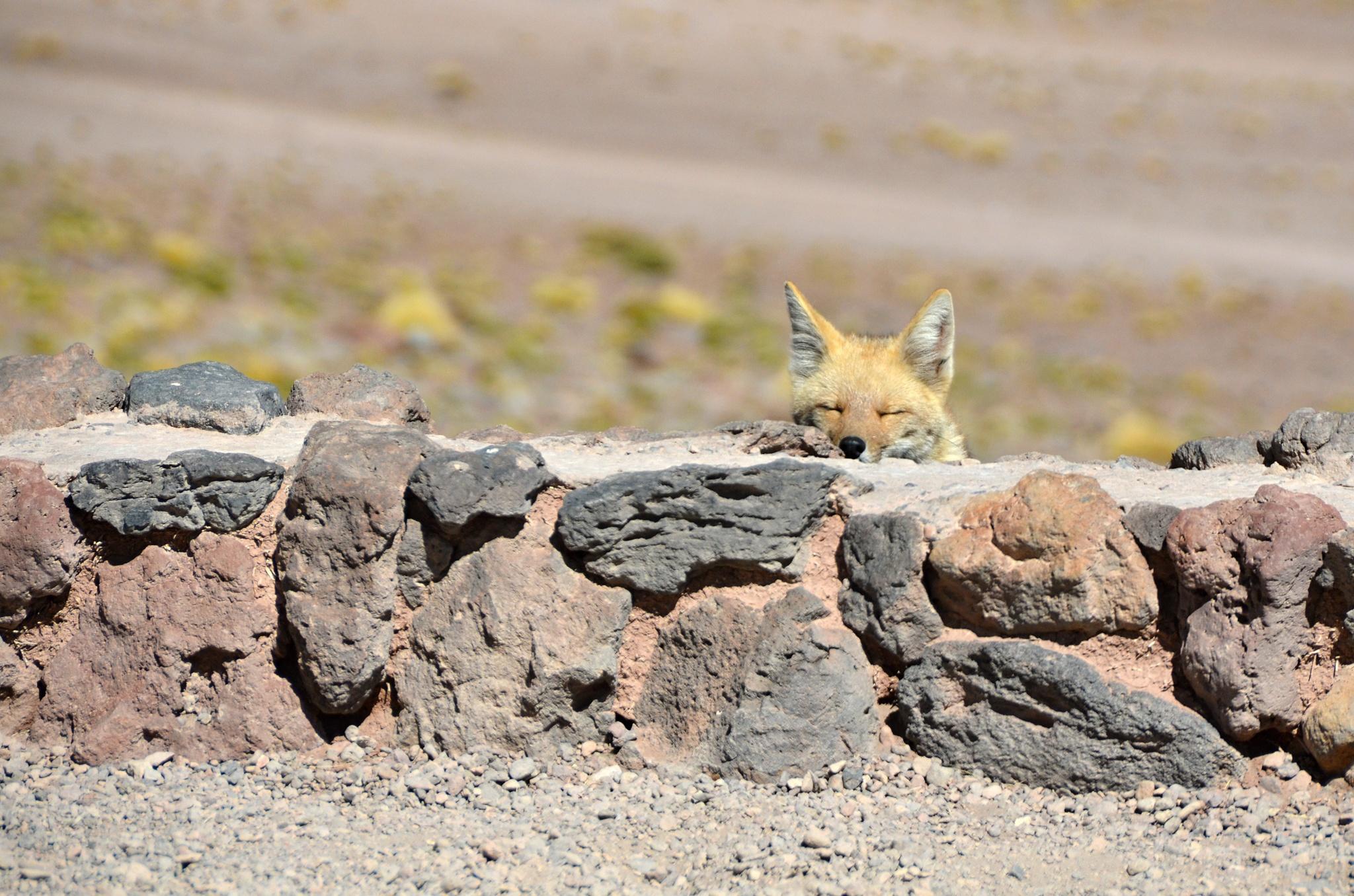 Pěkně ospalá Patagonská liška aneb Horský pes