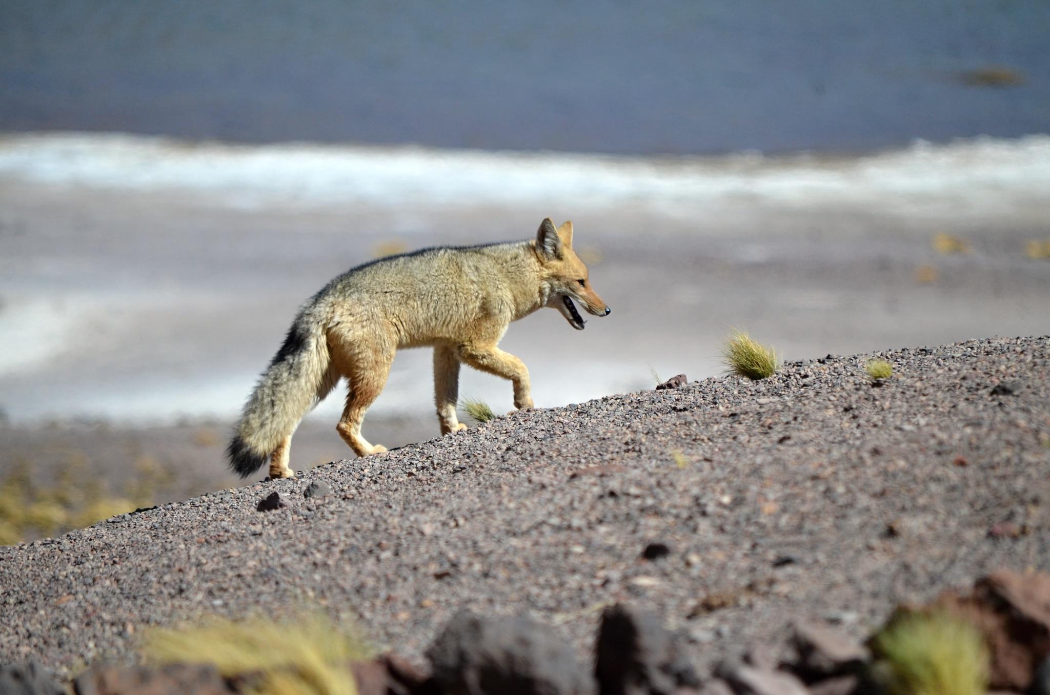 Patagonská liška, někdy též zvaná Cuelpo nebo Horský pes