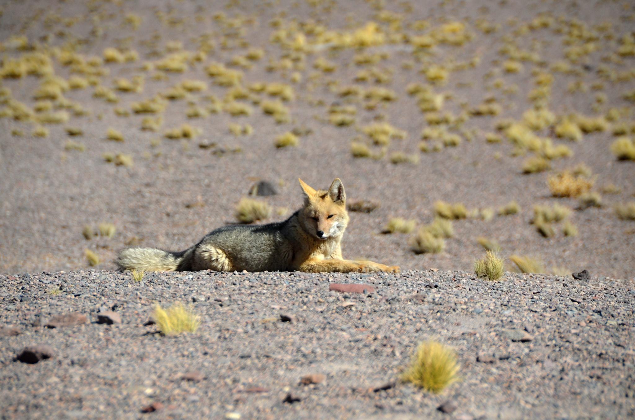 Odpočívající liška