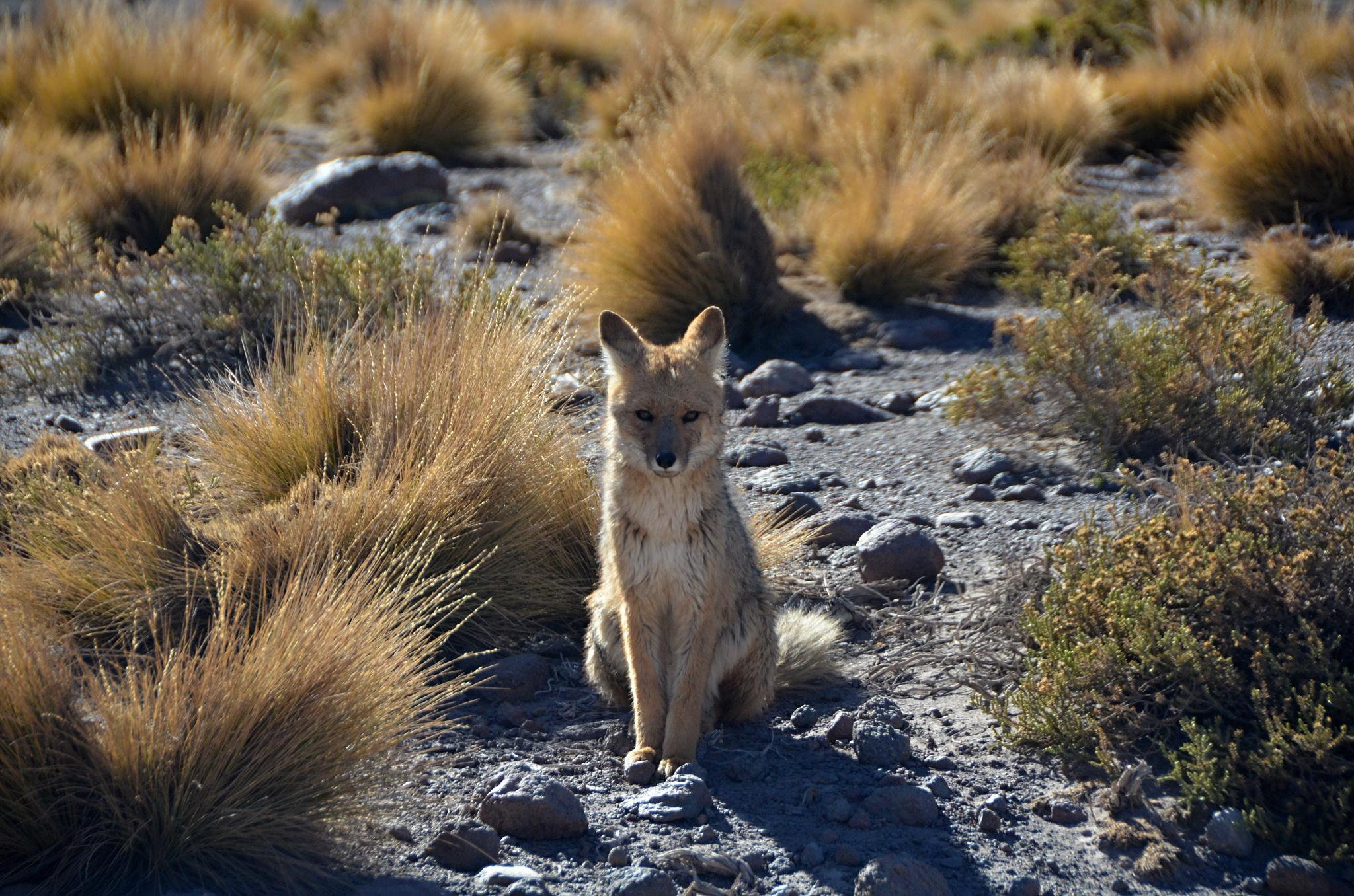 Pes horský aneb Liška patagonská u gejzírů