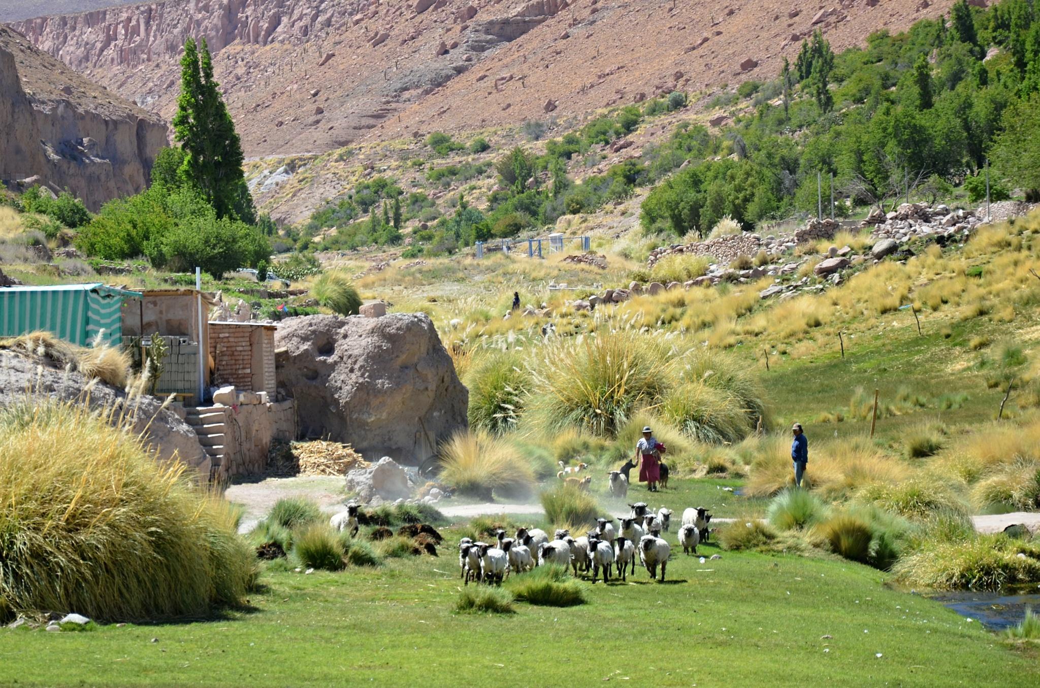 Chov ovcí v oáze Caspana