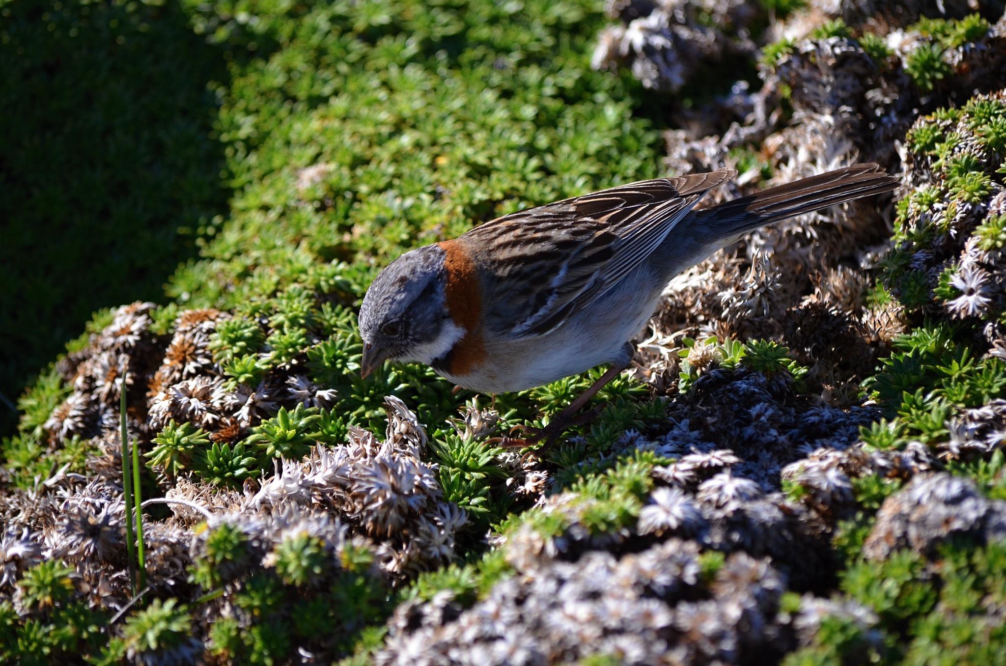 Patagonský vrabec nebo sýkorka nebo tak něco
