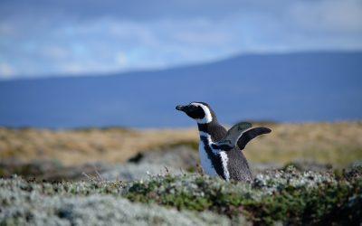 Letíme na jih do Patagonie a pozorujeme tučňáky