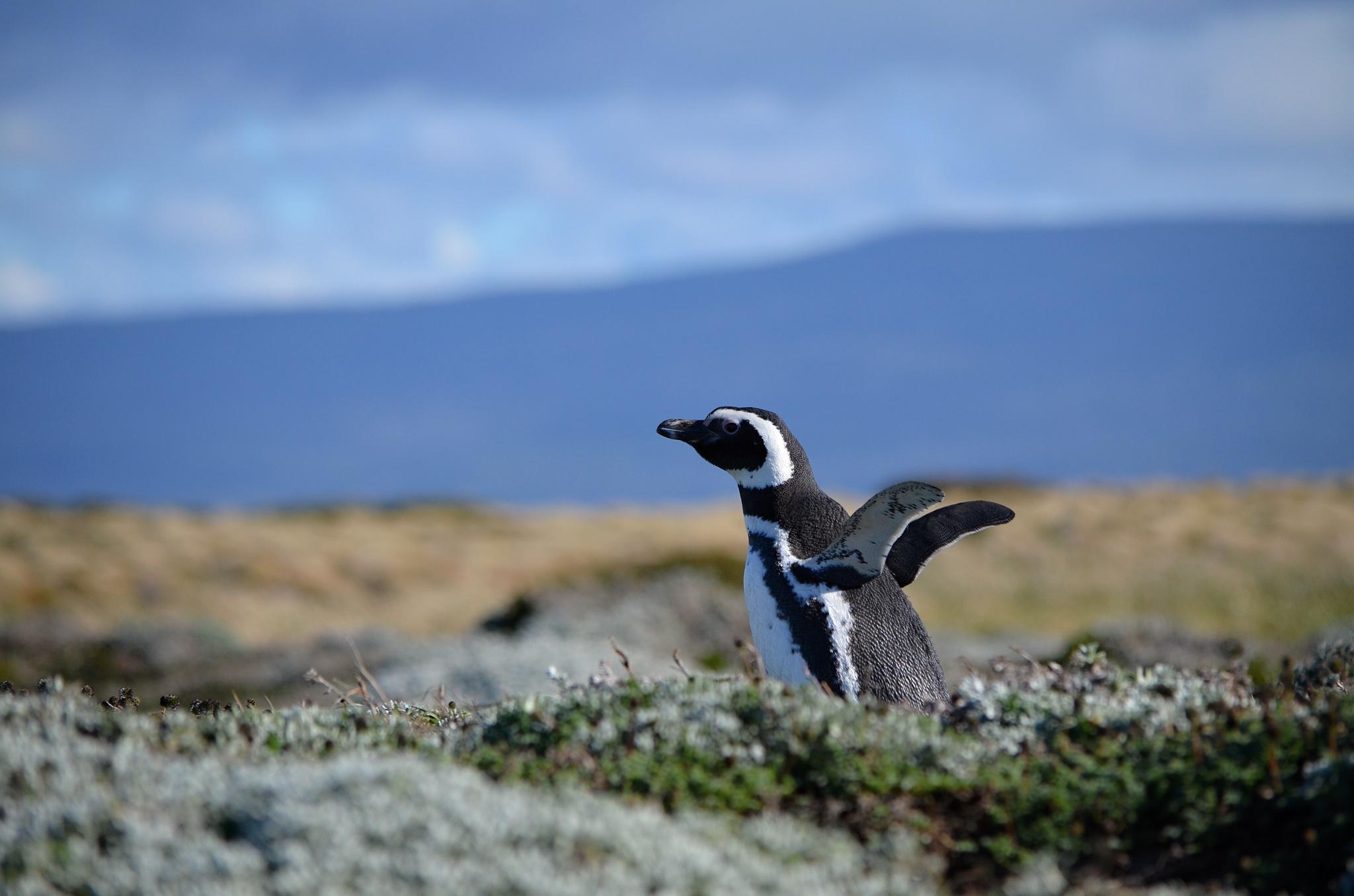 Tučňák daleko od moře