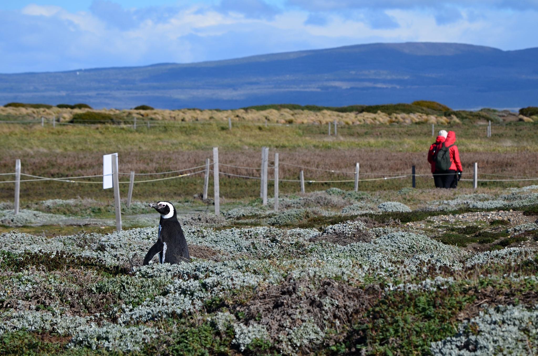 Tučňák na průzkumné cestě