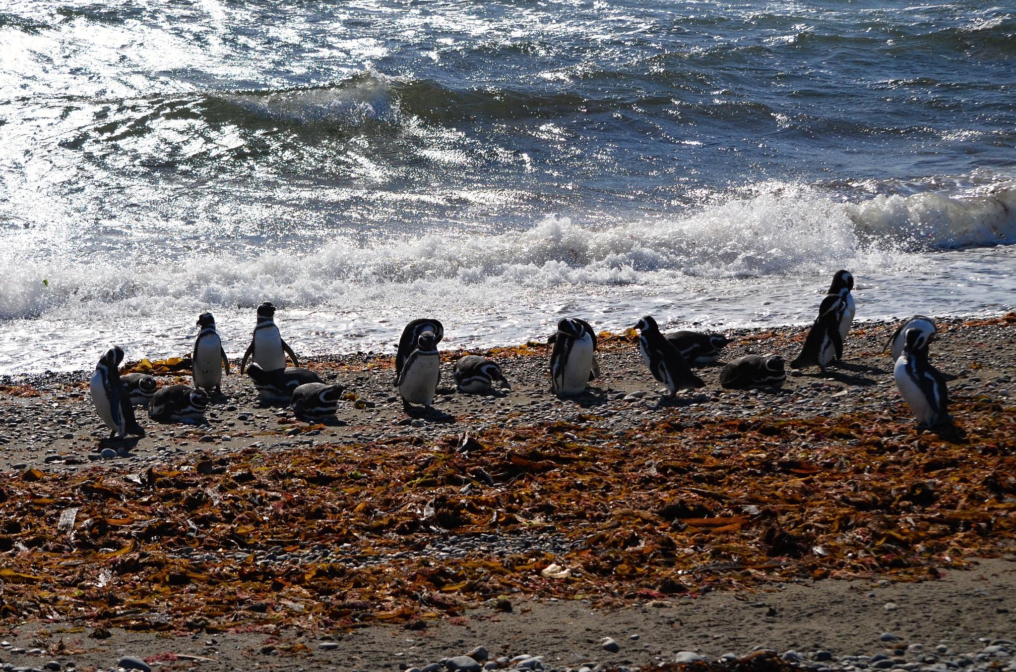 Tučňáci magellanští na pláži