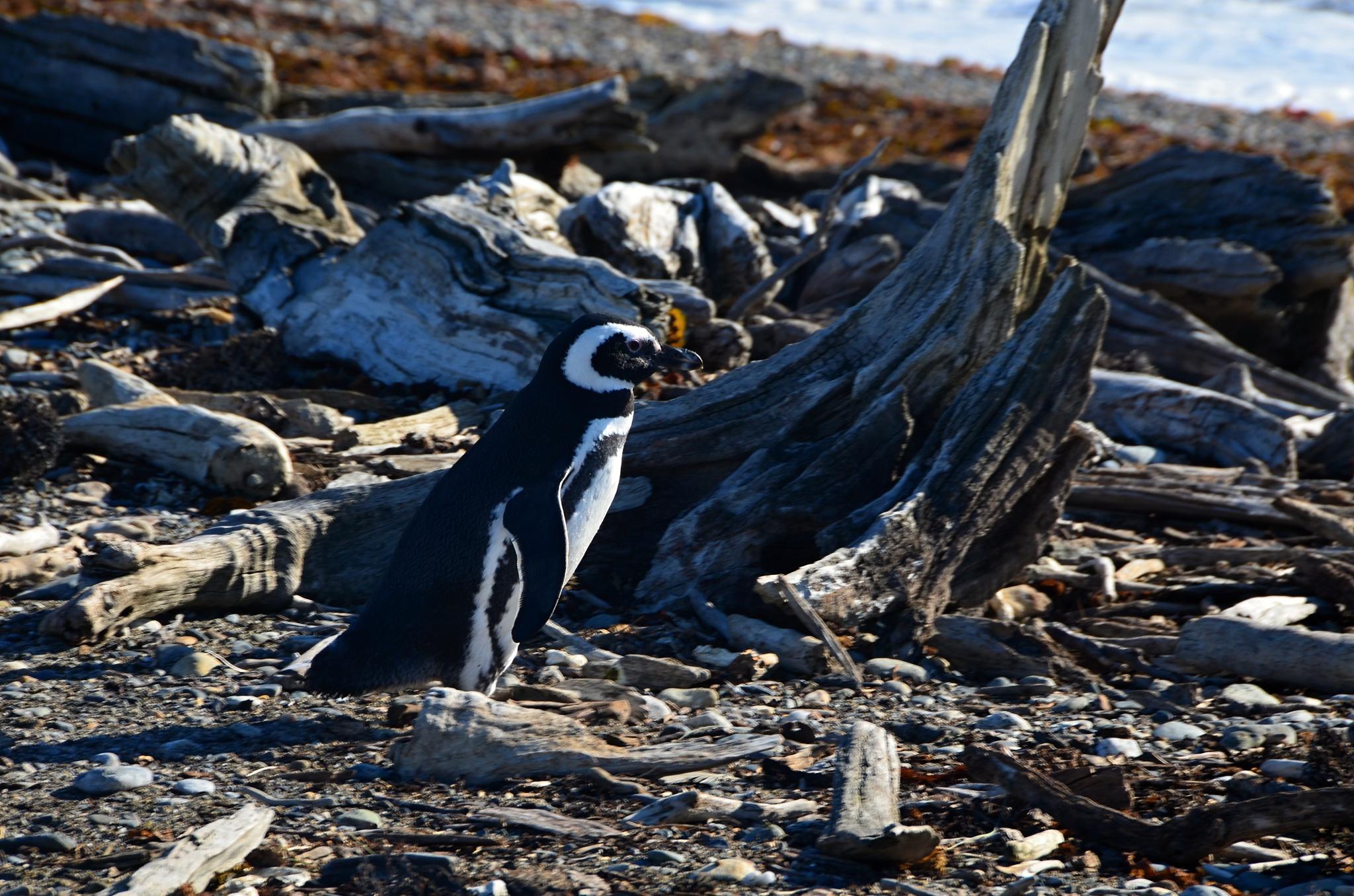 Tučňák se blíží k pláži