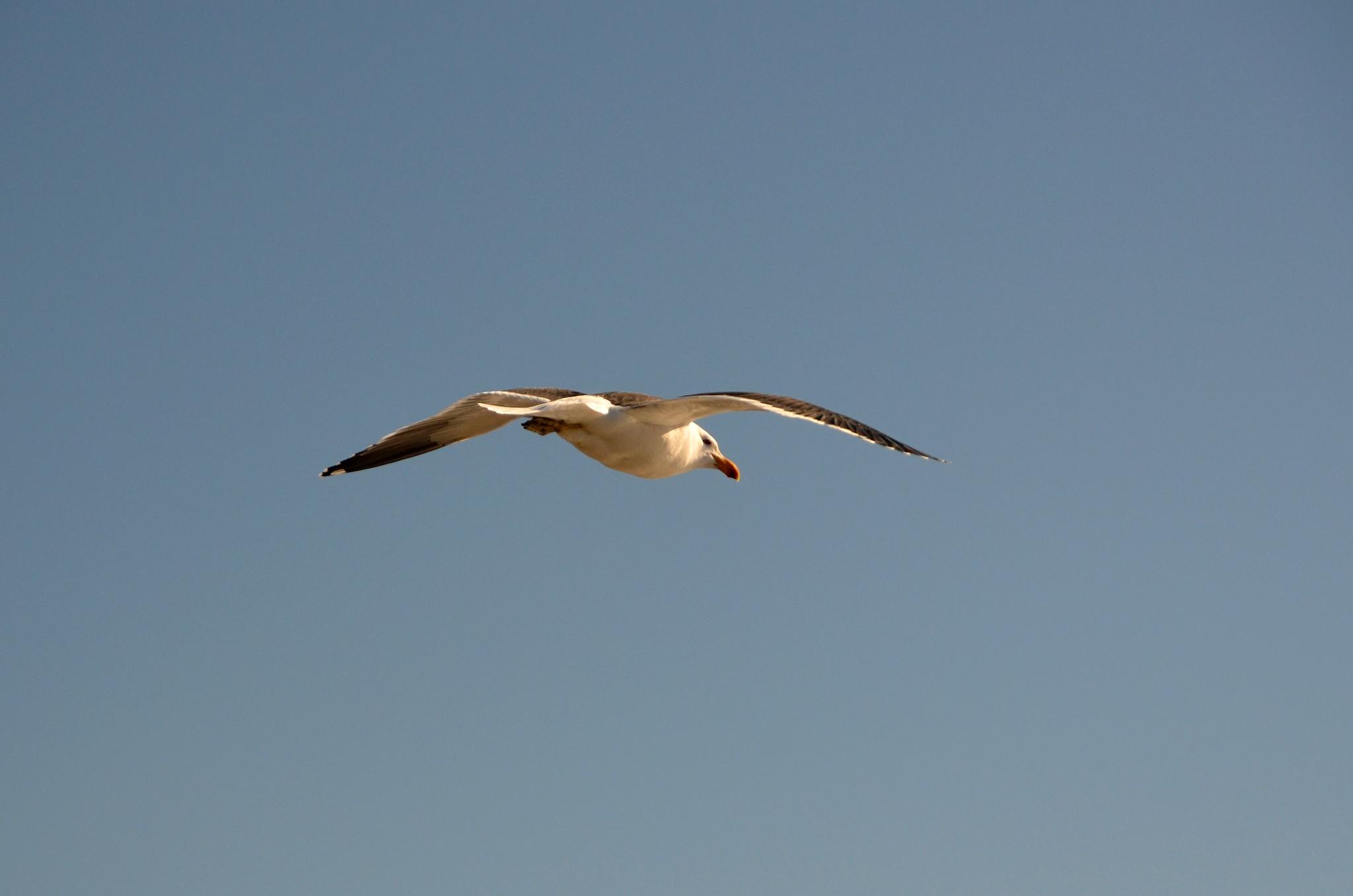 Racek nebo jemu podobný velký pták