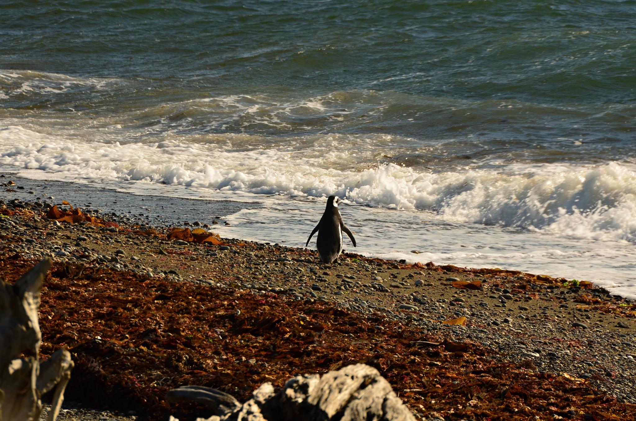 Tučňák na pláži