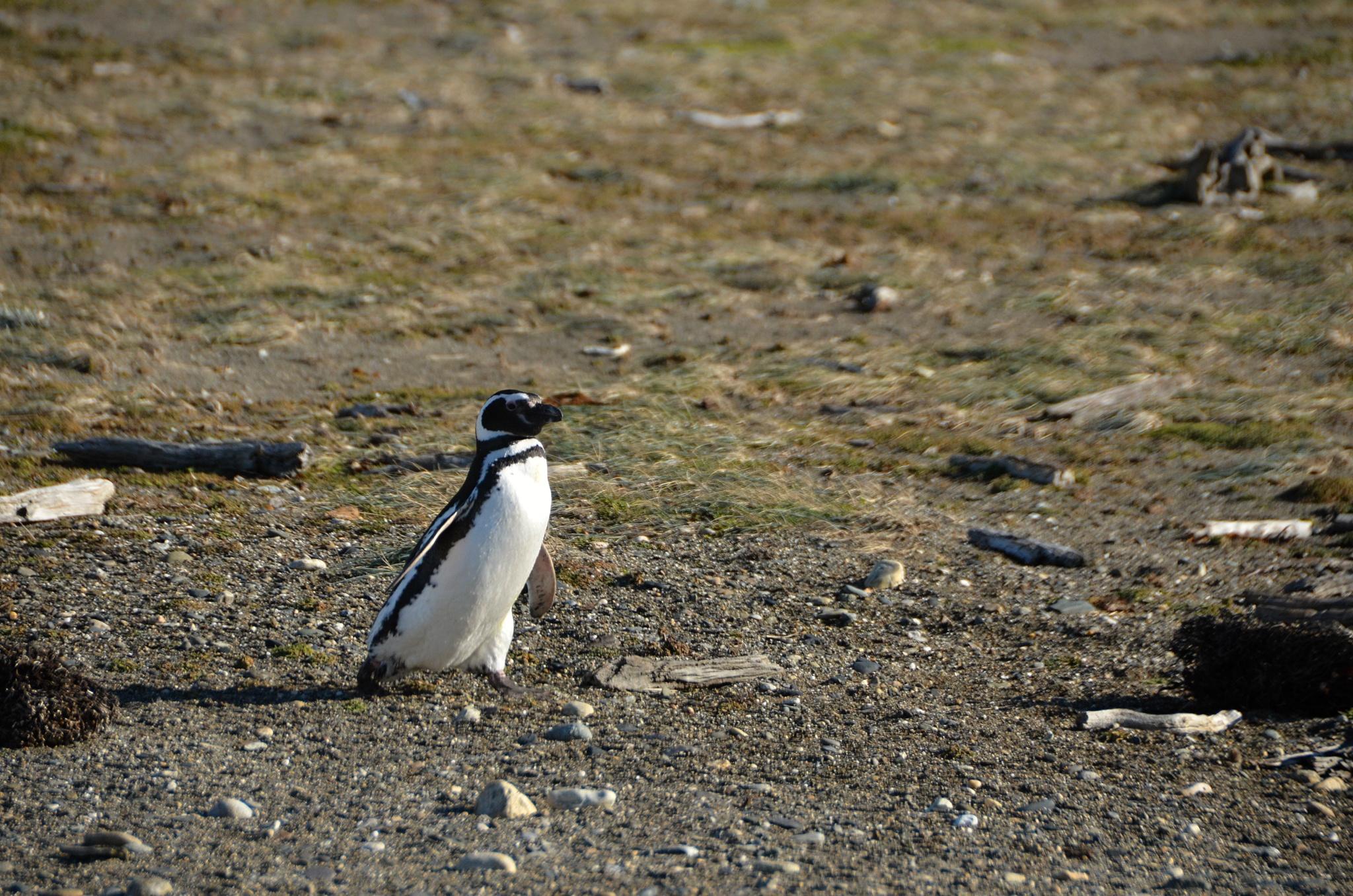Tučňák se vrací z výletu