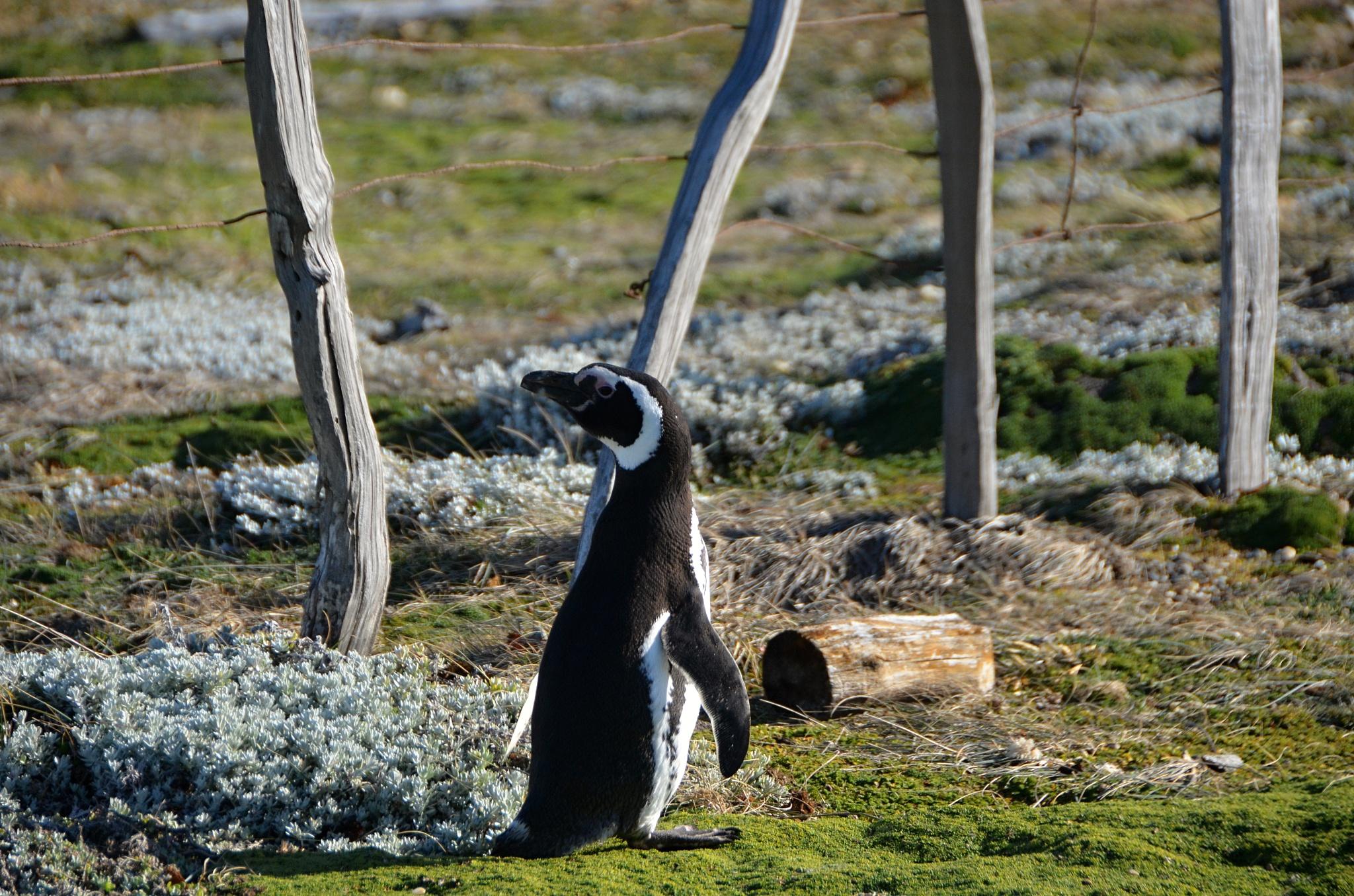 Tučňák magellanský na výletě