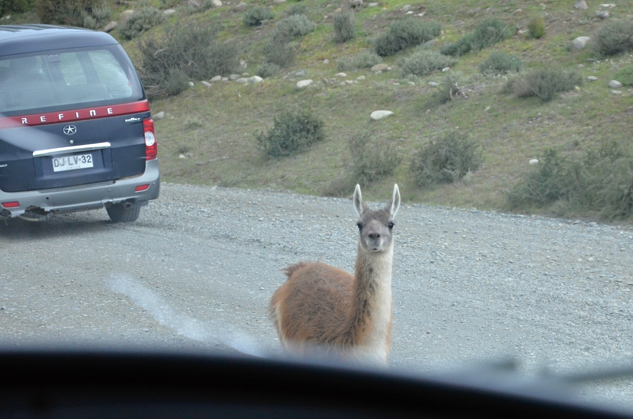 Zvědavá lama přímo na silnici