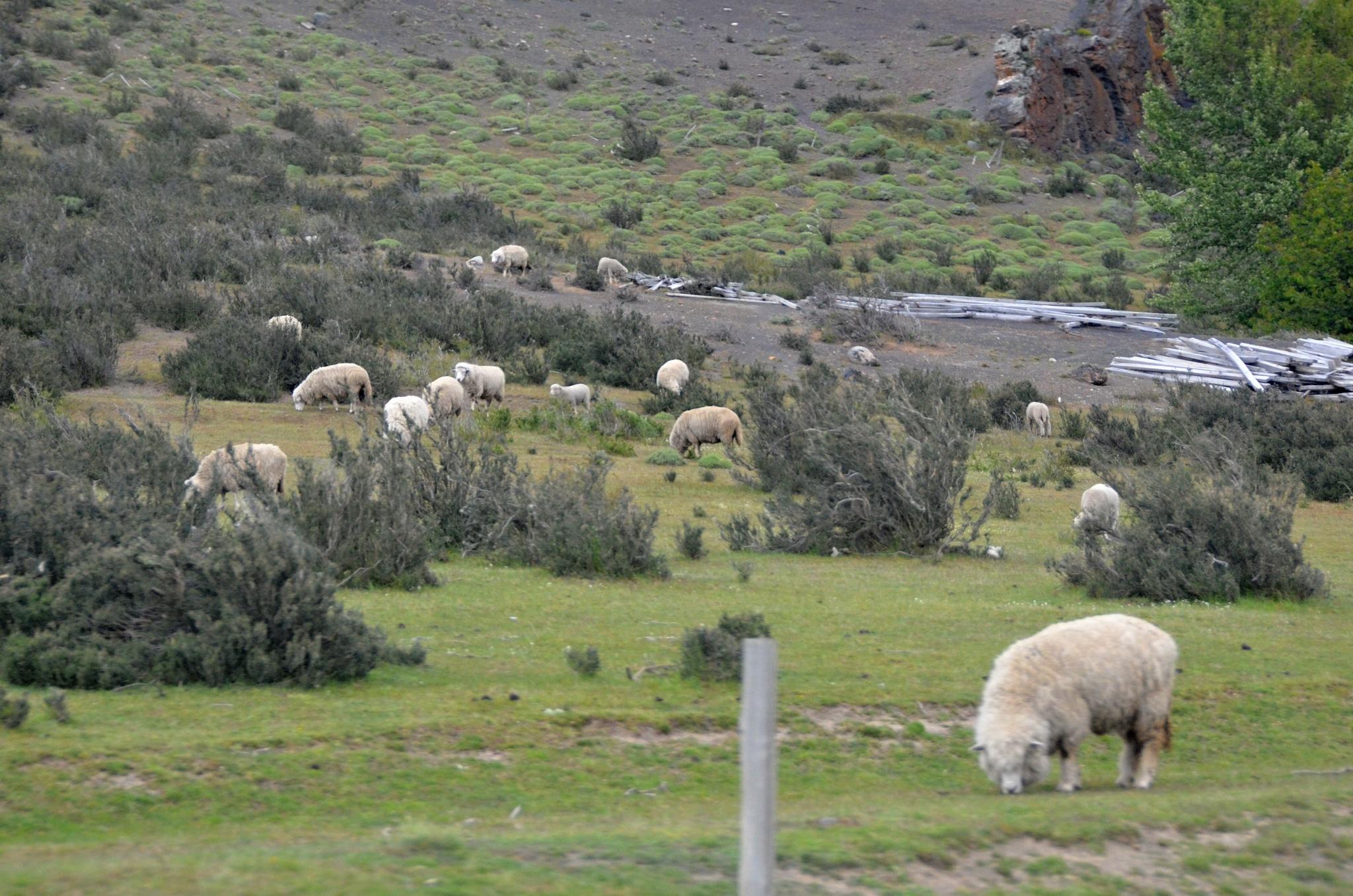Pro změnu stádo ovcí u cesty