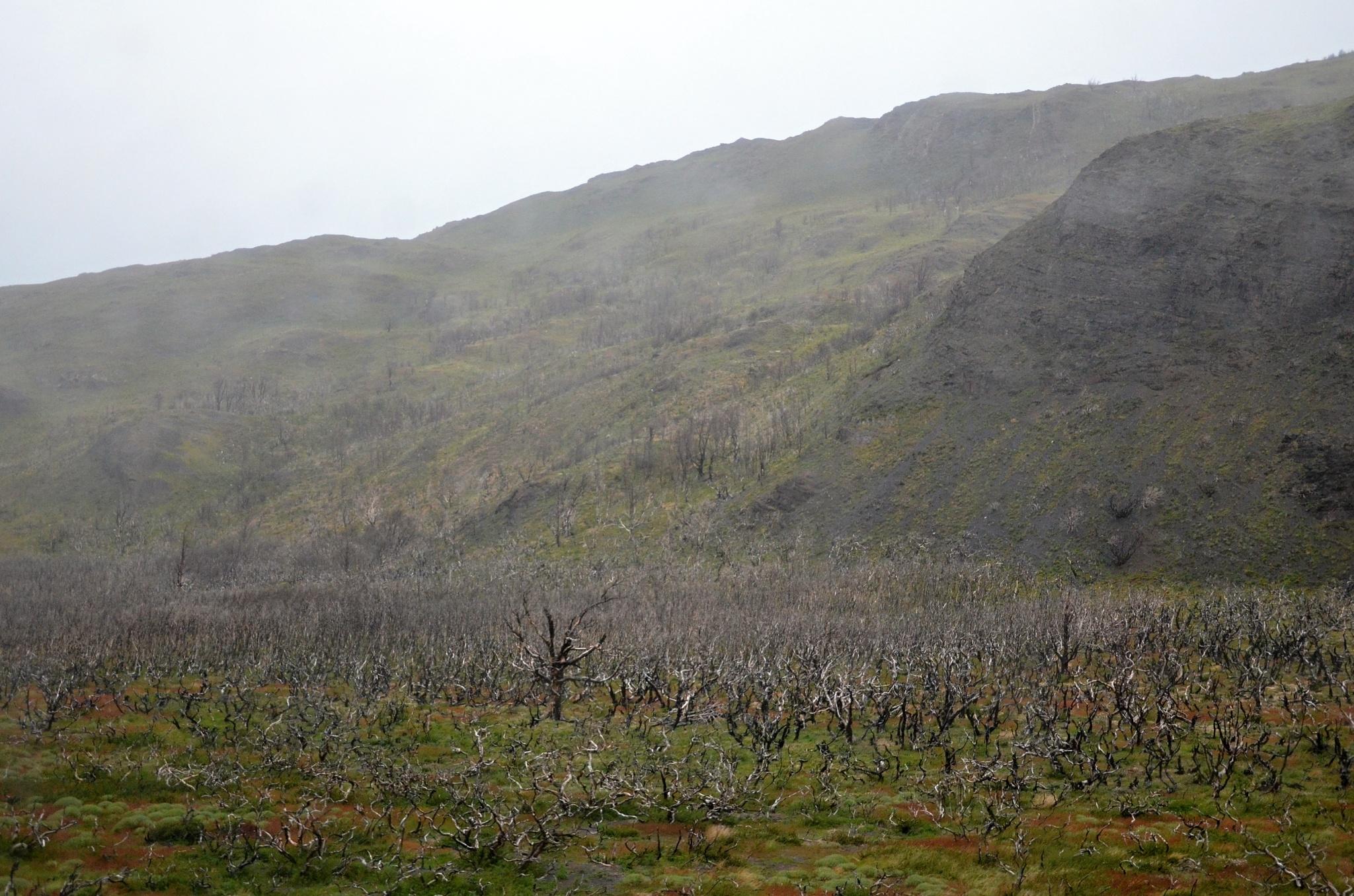 Mrtvý les po požáru v roce 2011