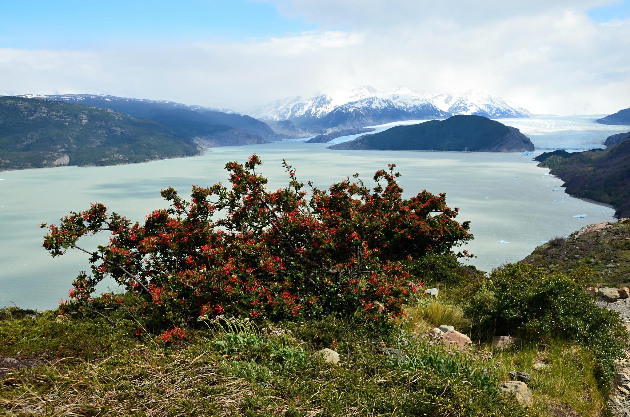 Červeně kvetoucí keř chilského ohnivého stromu před ledovcem Grey