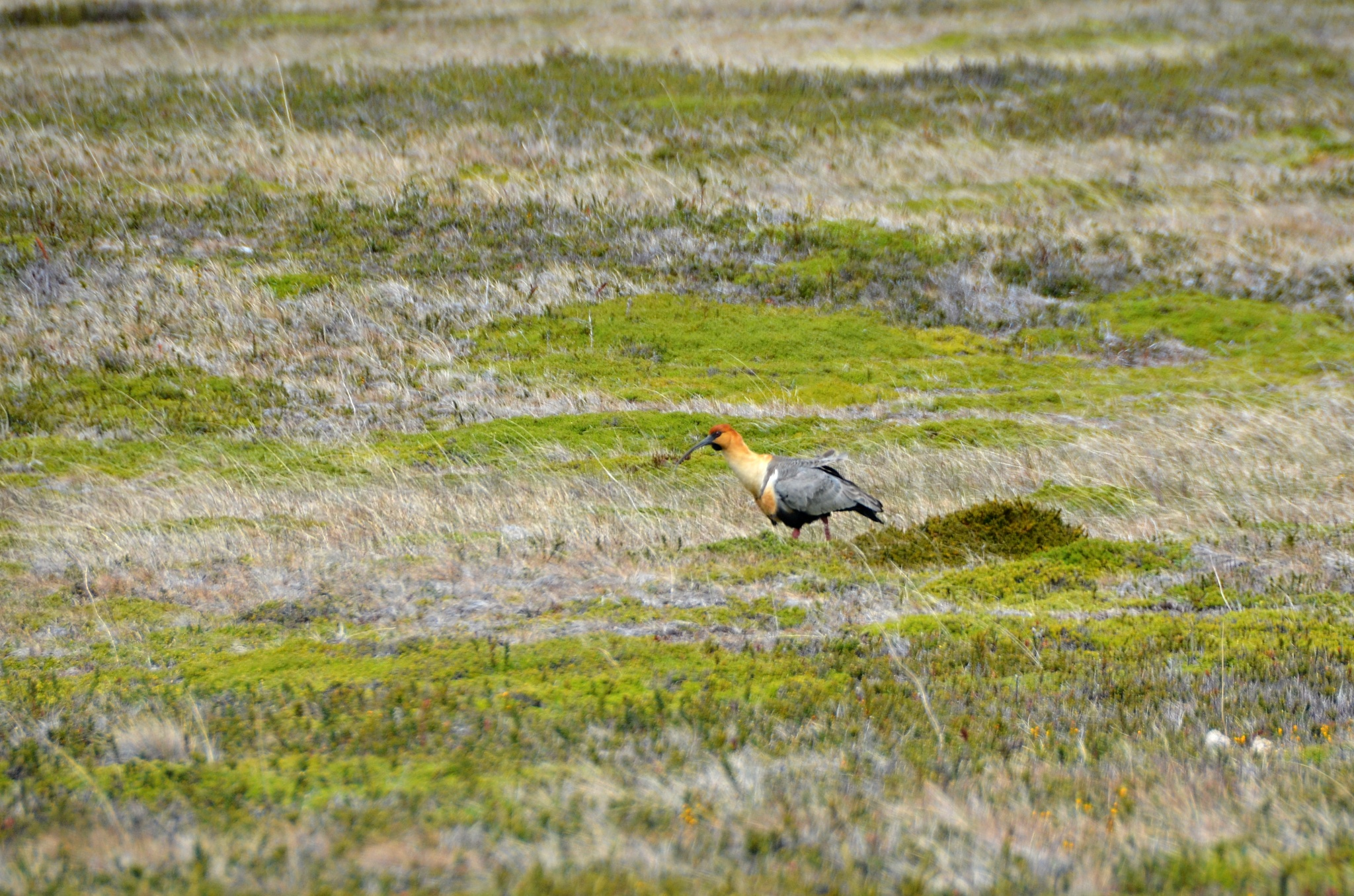Žlutočerný Ibis šedokřídlý (Theristicus melanopis) s dlouhým zobákem
