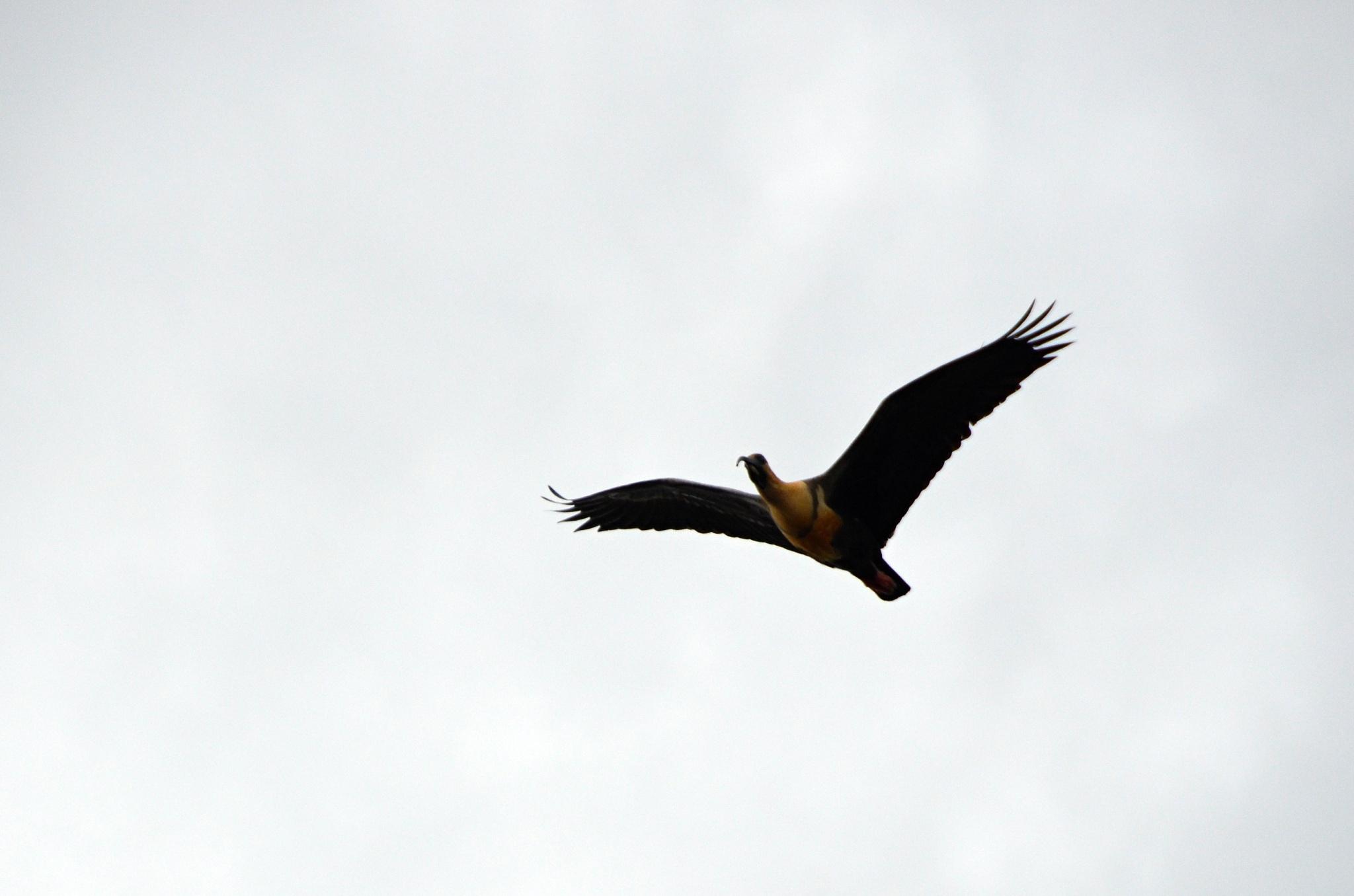 Žlutočerný Ibis šedokřídlý (Theristicus melanopis)