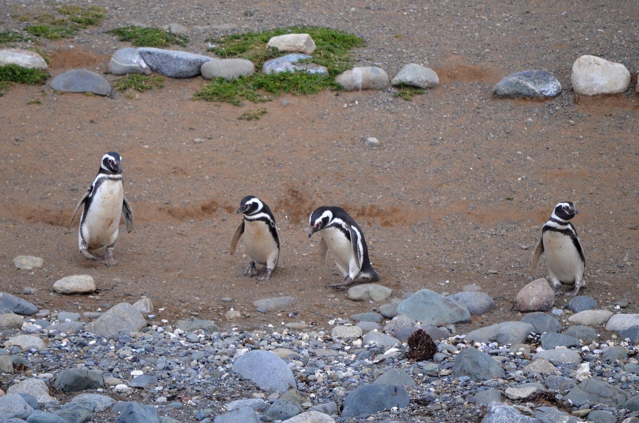 Uvítací výbor tučňáků