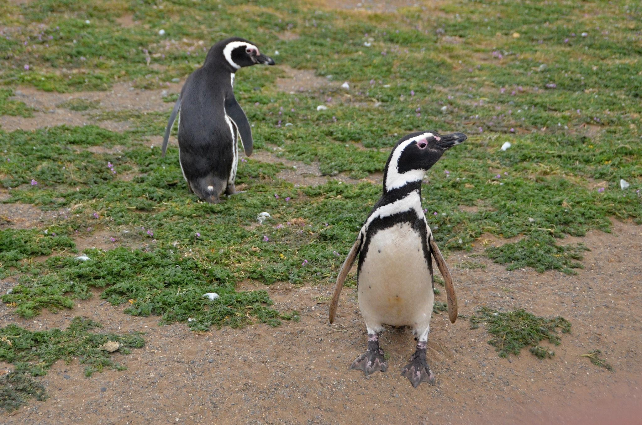 Zvědaví tučňáci