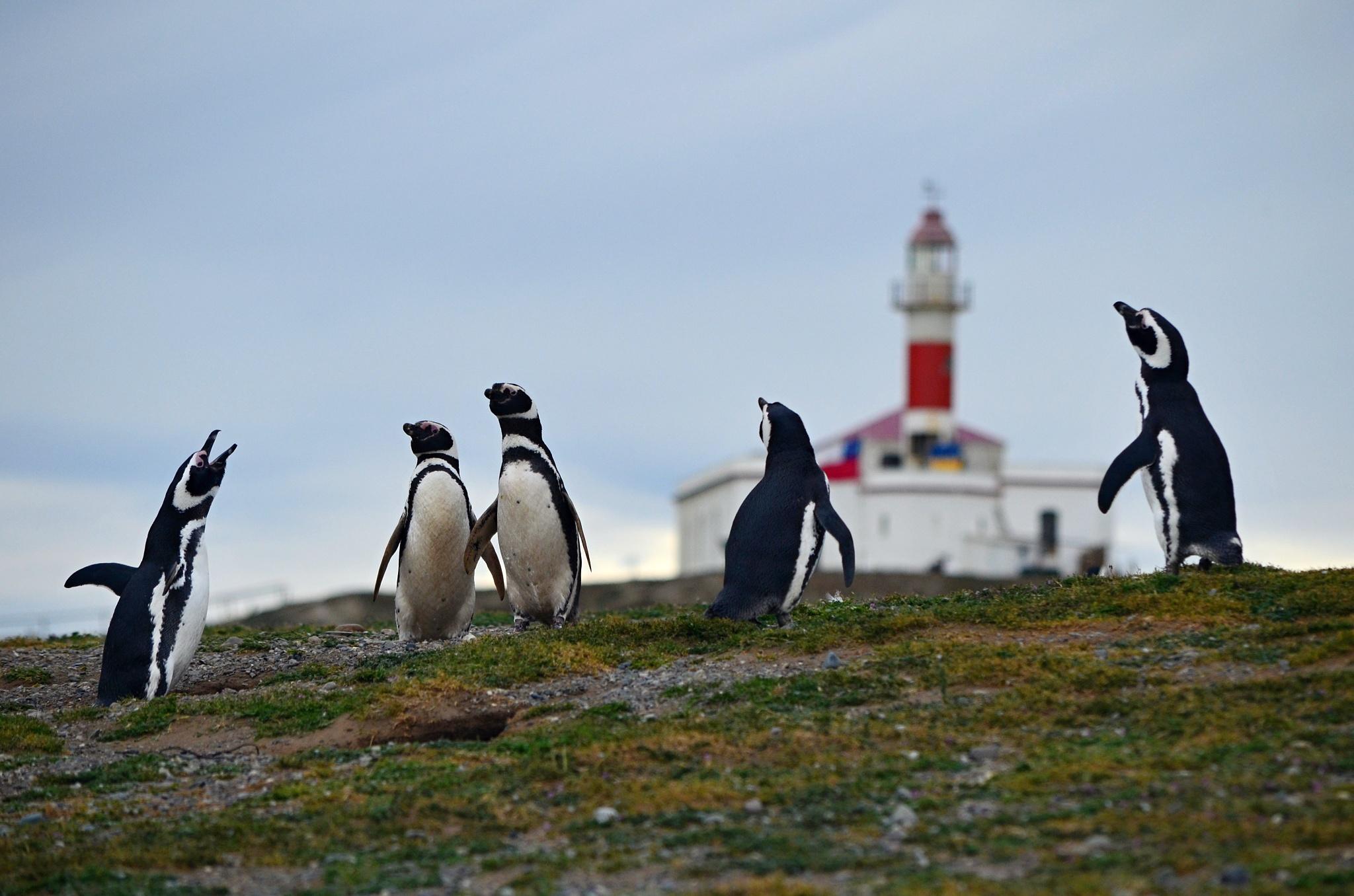 Sněm tučňáků kousek přes majákem