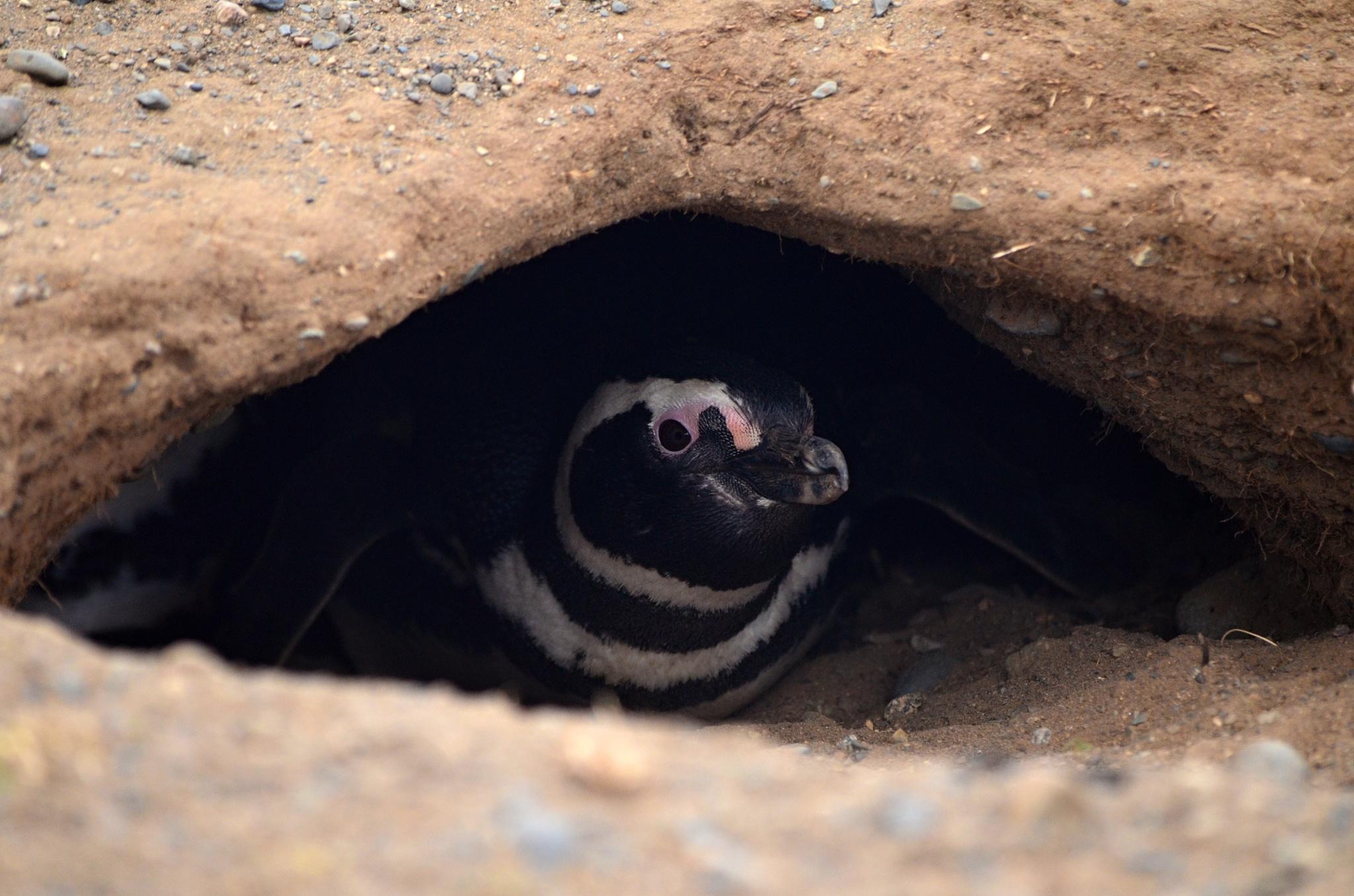 Tučňák magellanský v noře